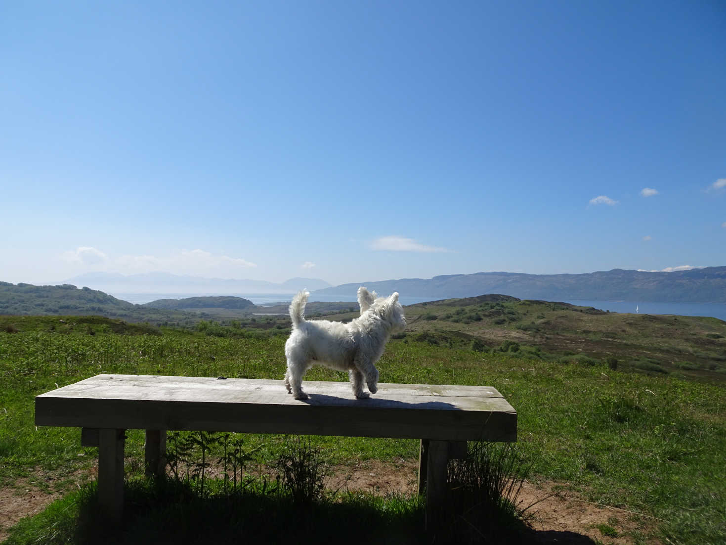 poppy the westie looking at Kyle Penisular and Arran