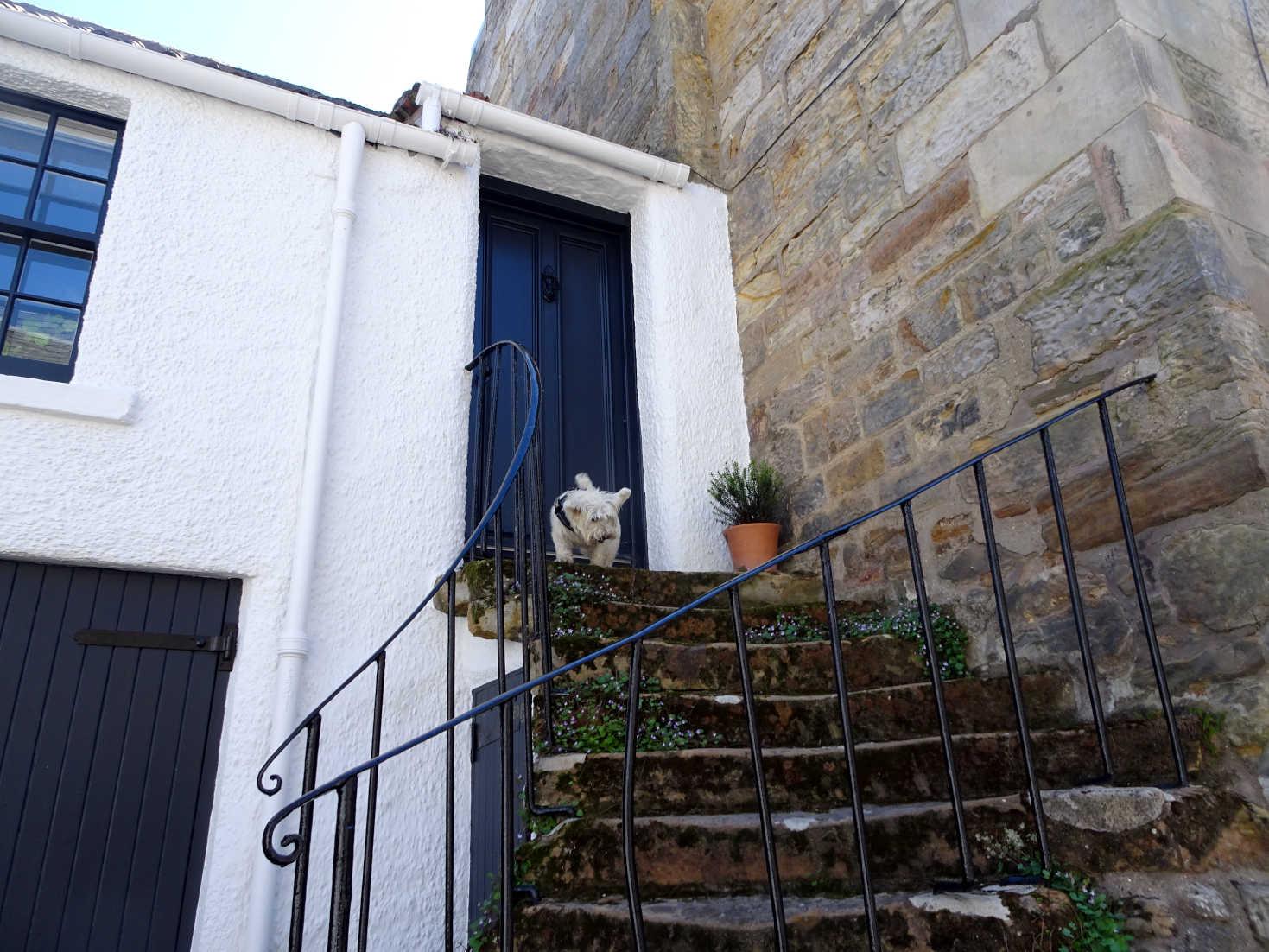 poppy the westie on South Castle Street St Andrews