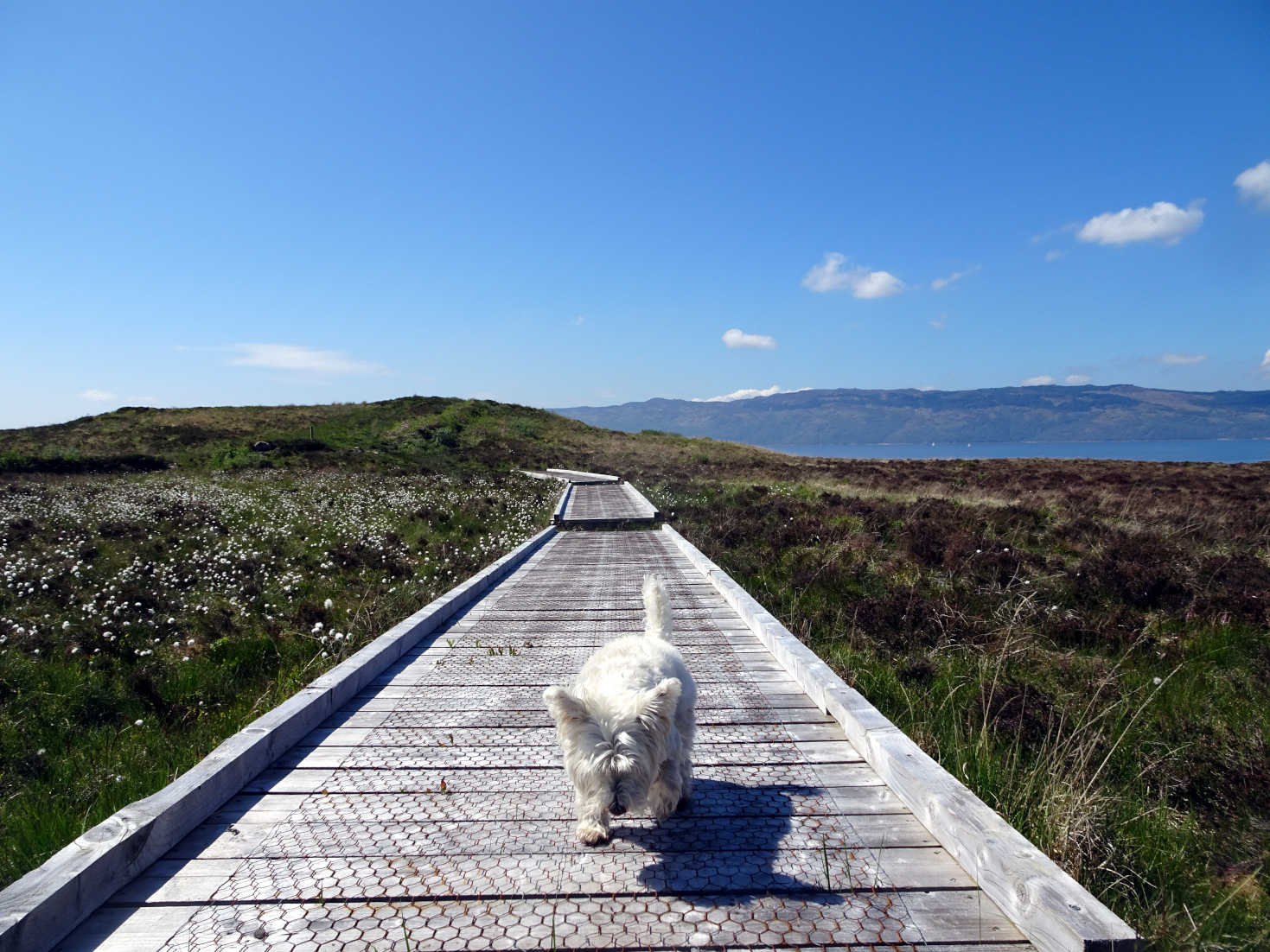 poppy the westie on the boardwalk to cross the portavadie moors