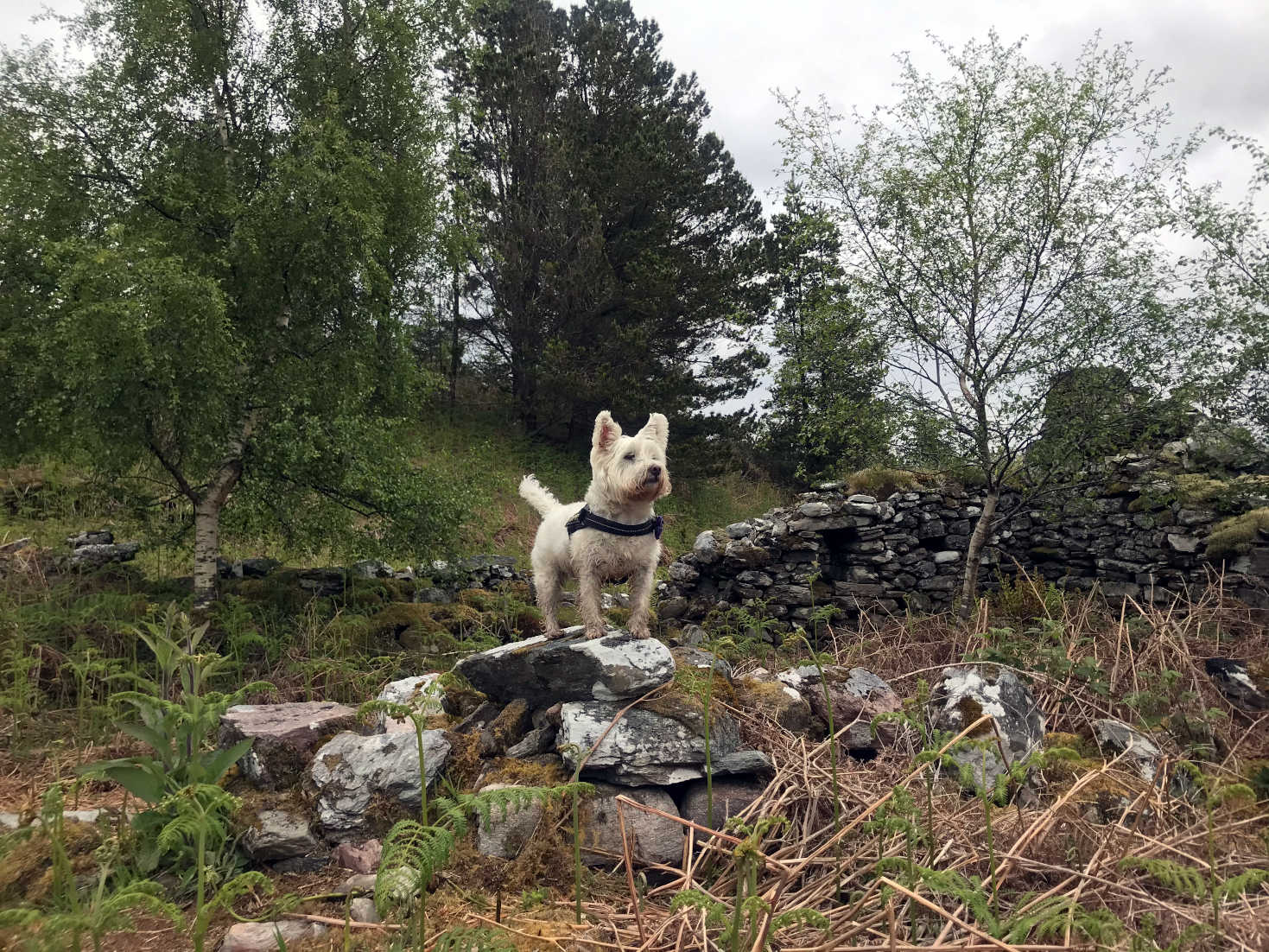 poppy the westie on the ruins of Glenan Village