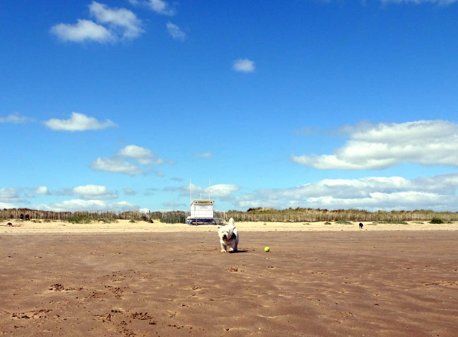 poppy the westie on west beach St Andrews