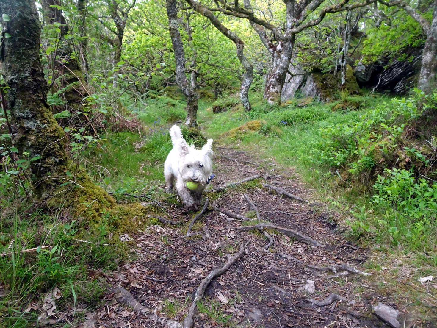 poppy the westie playing ball in Glenan Wood