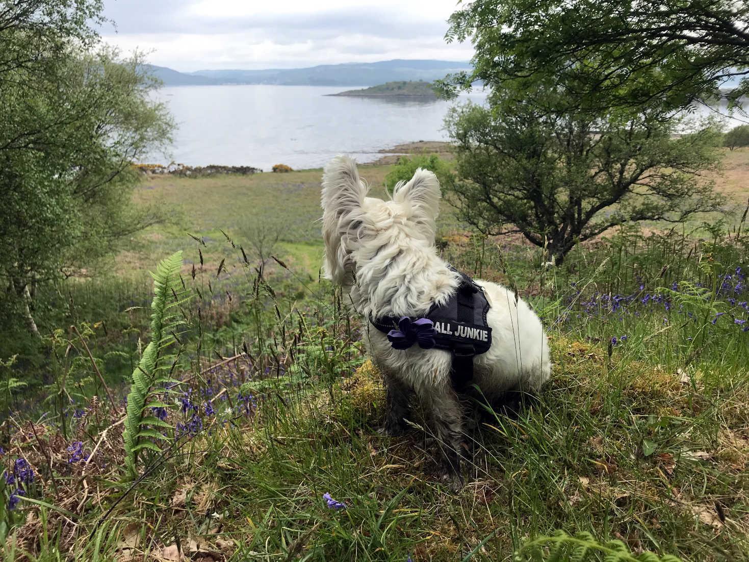 poppy the westie wants to go to Loch Fyne
