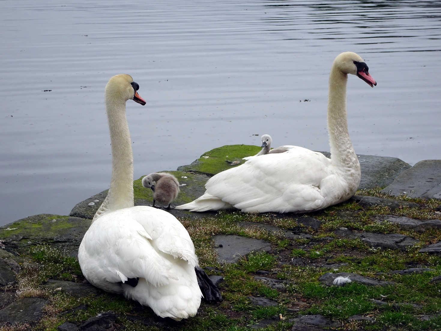 two headed swan at Tarbert