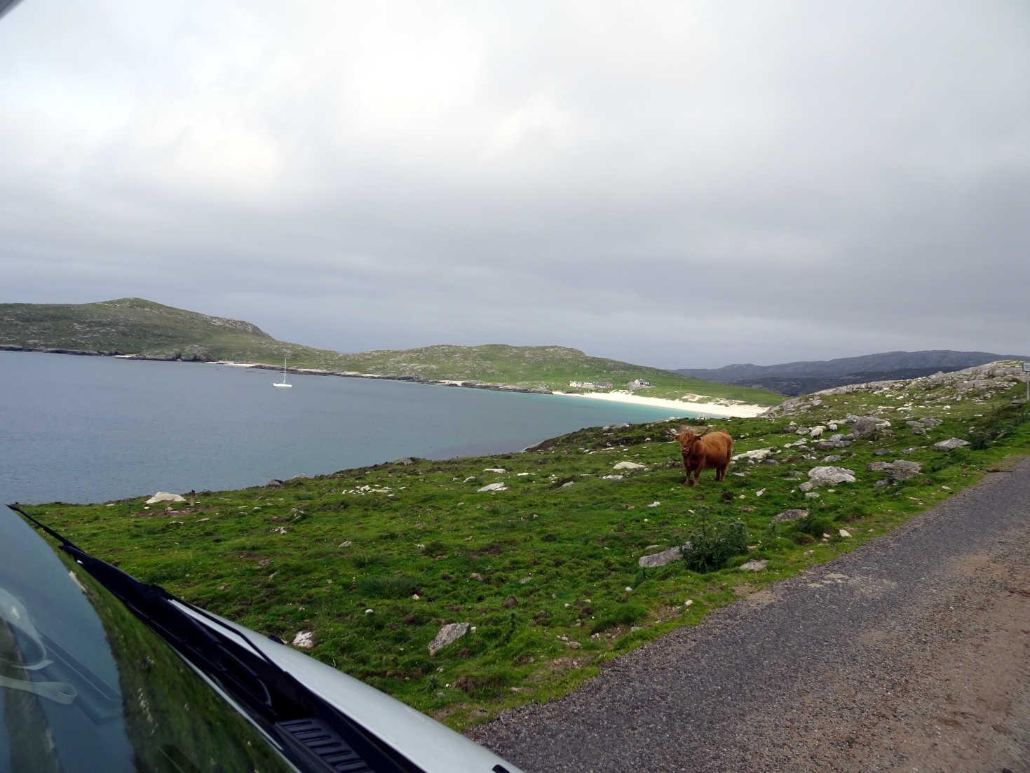 cow gaurds hushinish beach