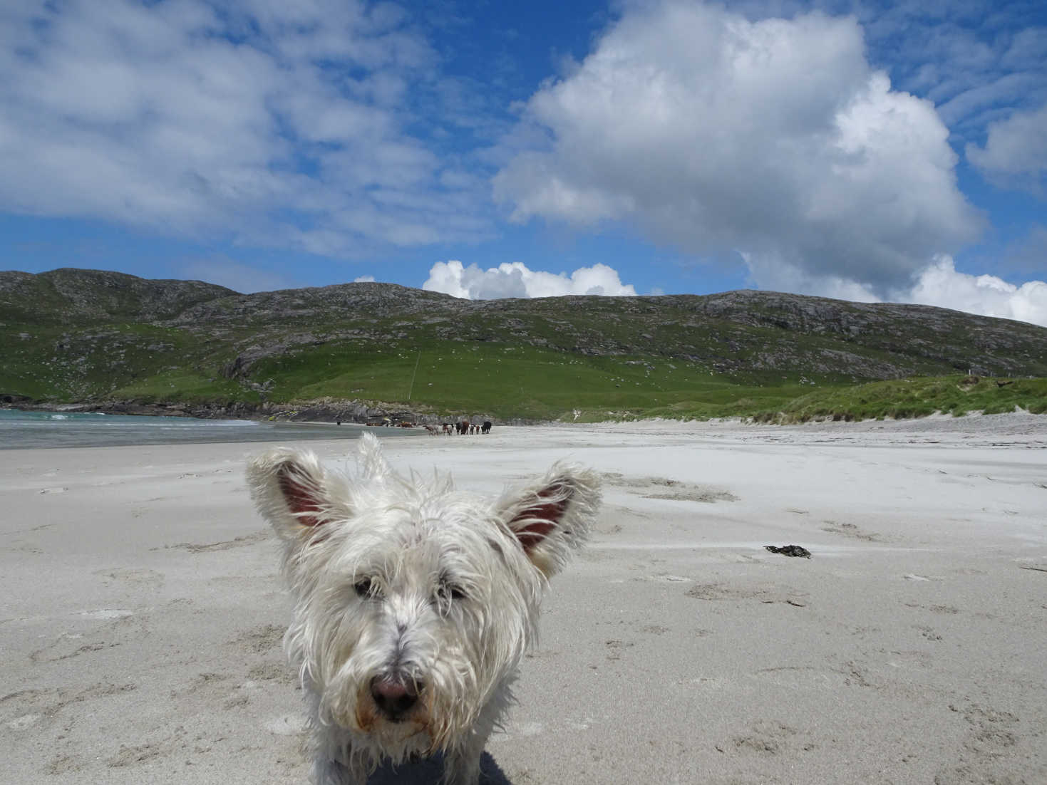 poppy the westie after bath on vatersay