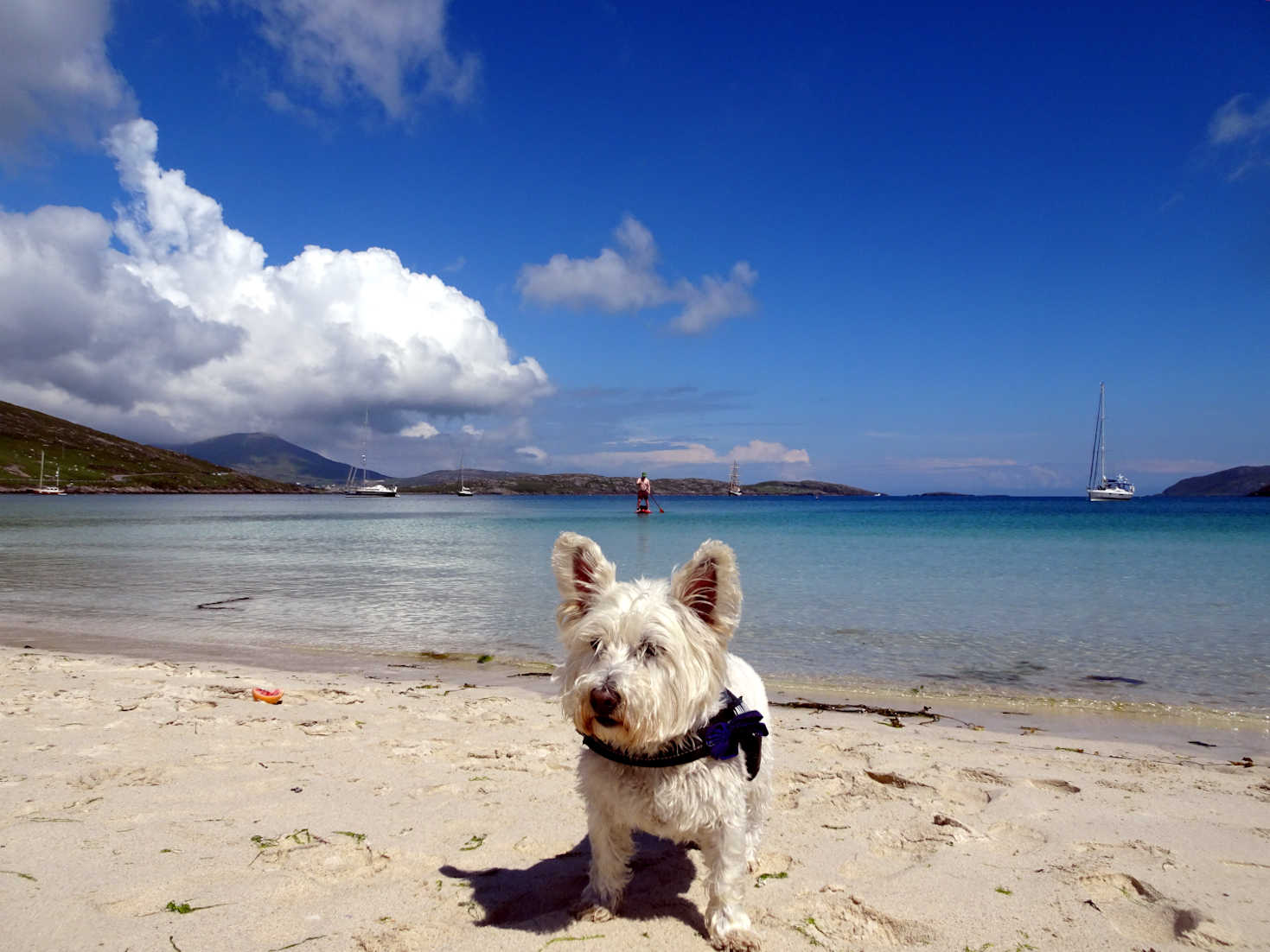 poppy the westie and paddle boarder Traigh a Bhaigh Vatersy