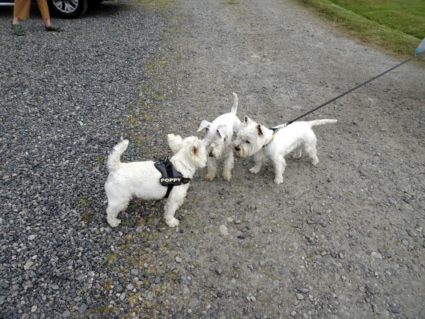 poppy the westie and the white paws gang
