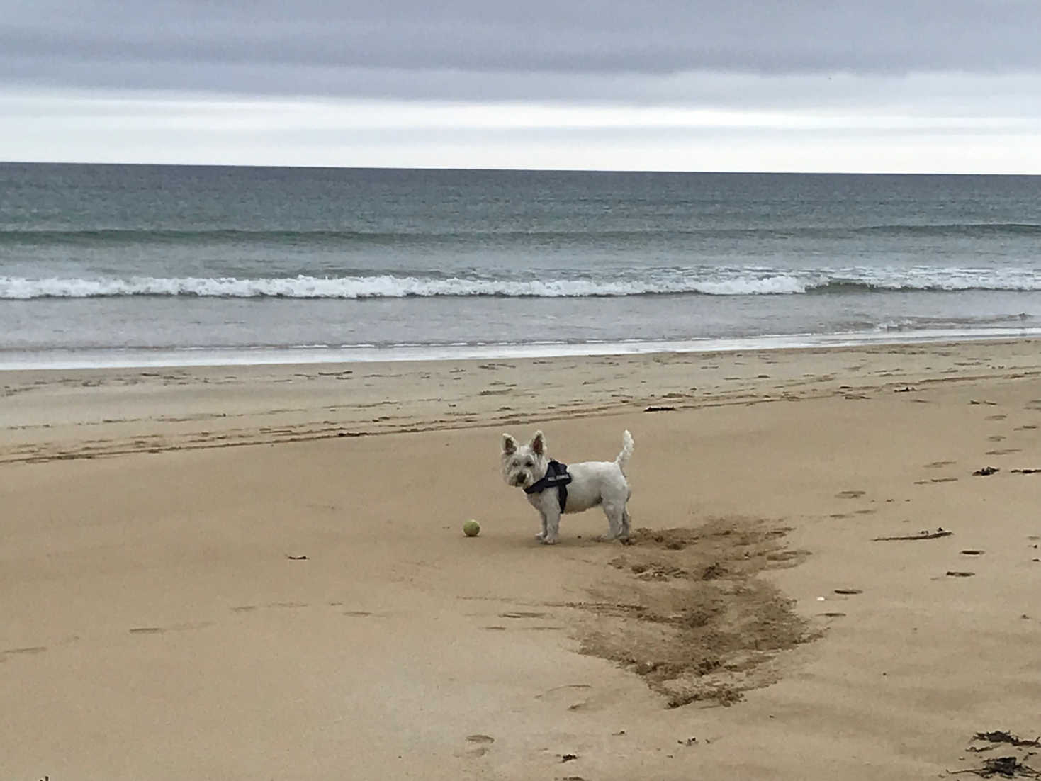poppy the westie at Traigh Mhòr on Lewis