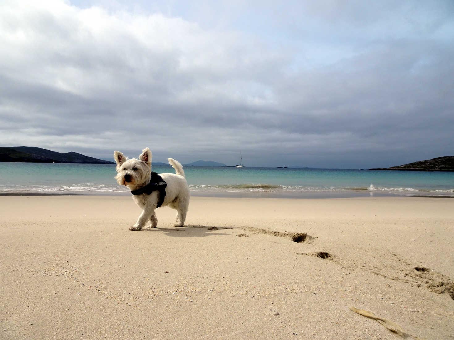 poppy the westie at hushinish beach isle of harris