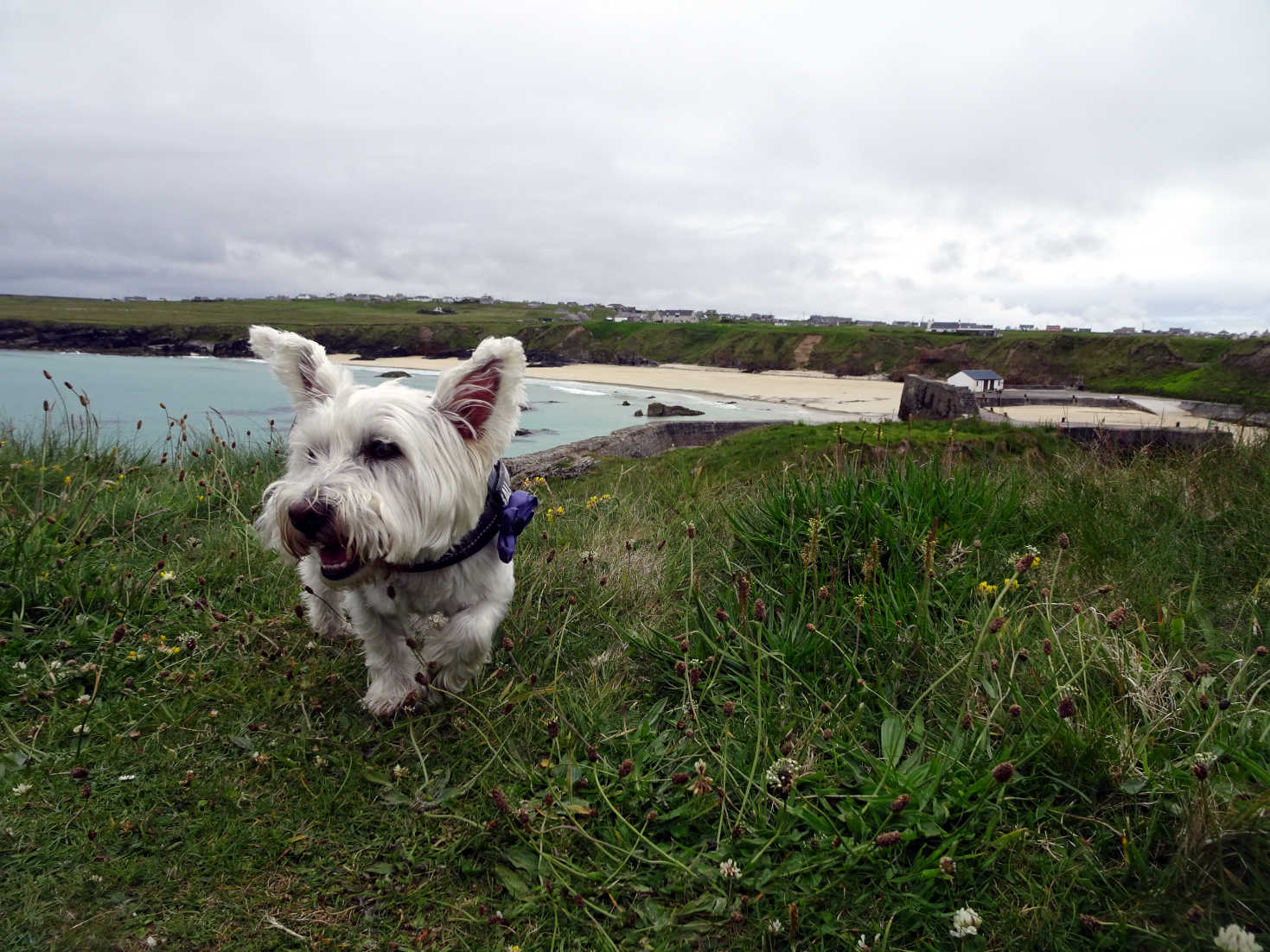 poppy the westie at port of ness