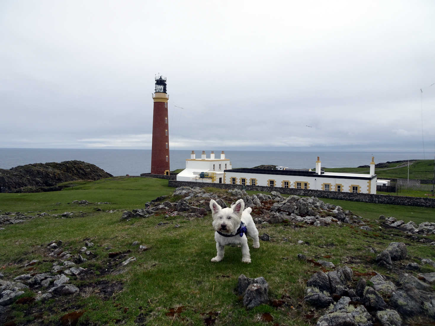 poppy the westie at the but of lewis