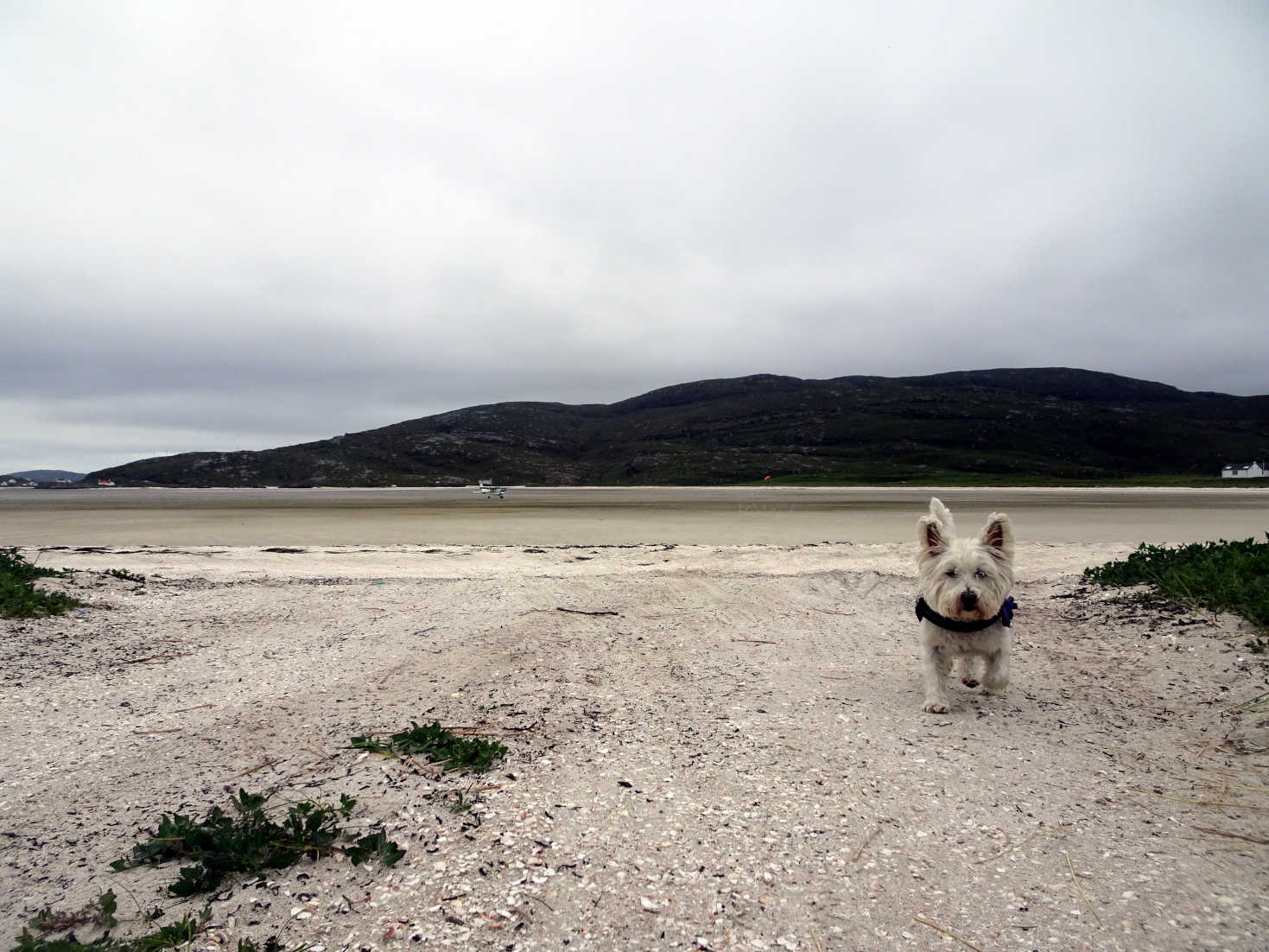 poppy the westie back at barra airport