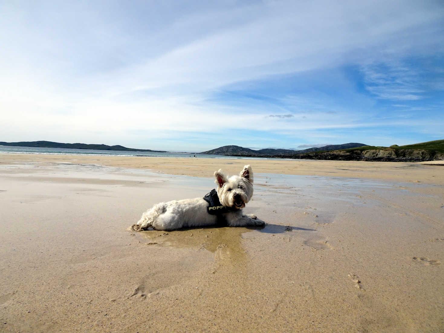 poppy the westie cools down on Nisabost Beach Harris