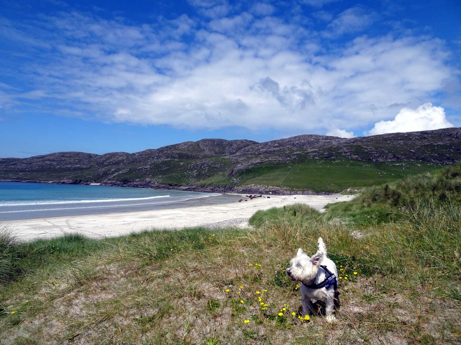 poppy the westie discovers Traigh Shiar beach Vatersay