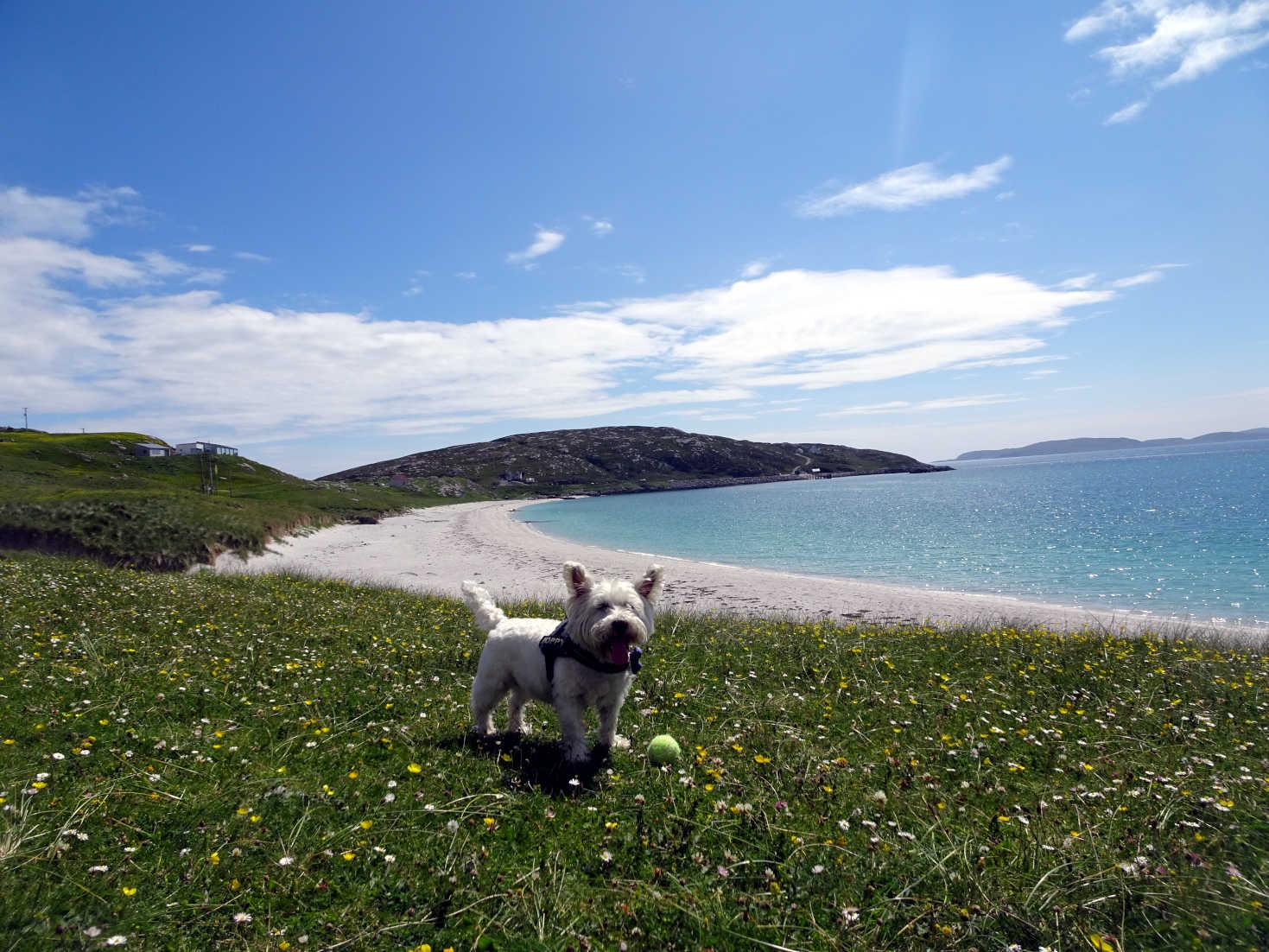 poppy the westie finds another beach on Eriskay