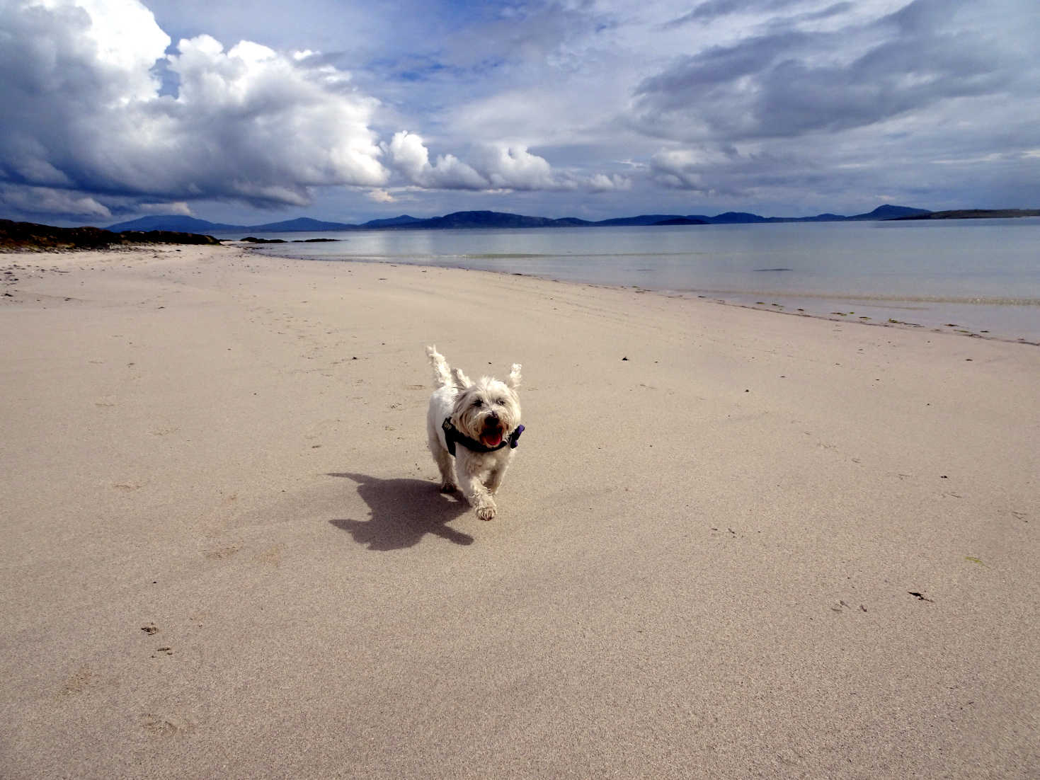 poppy the westie going to the airport on Barra