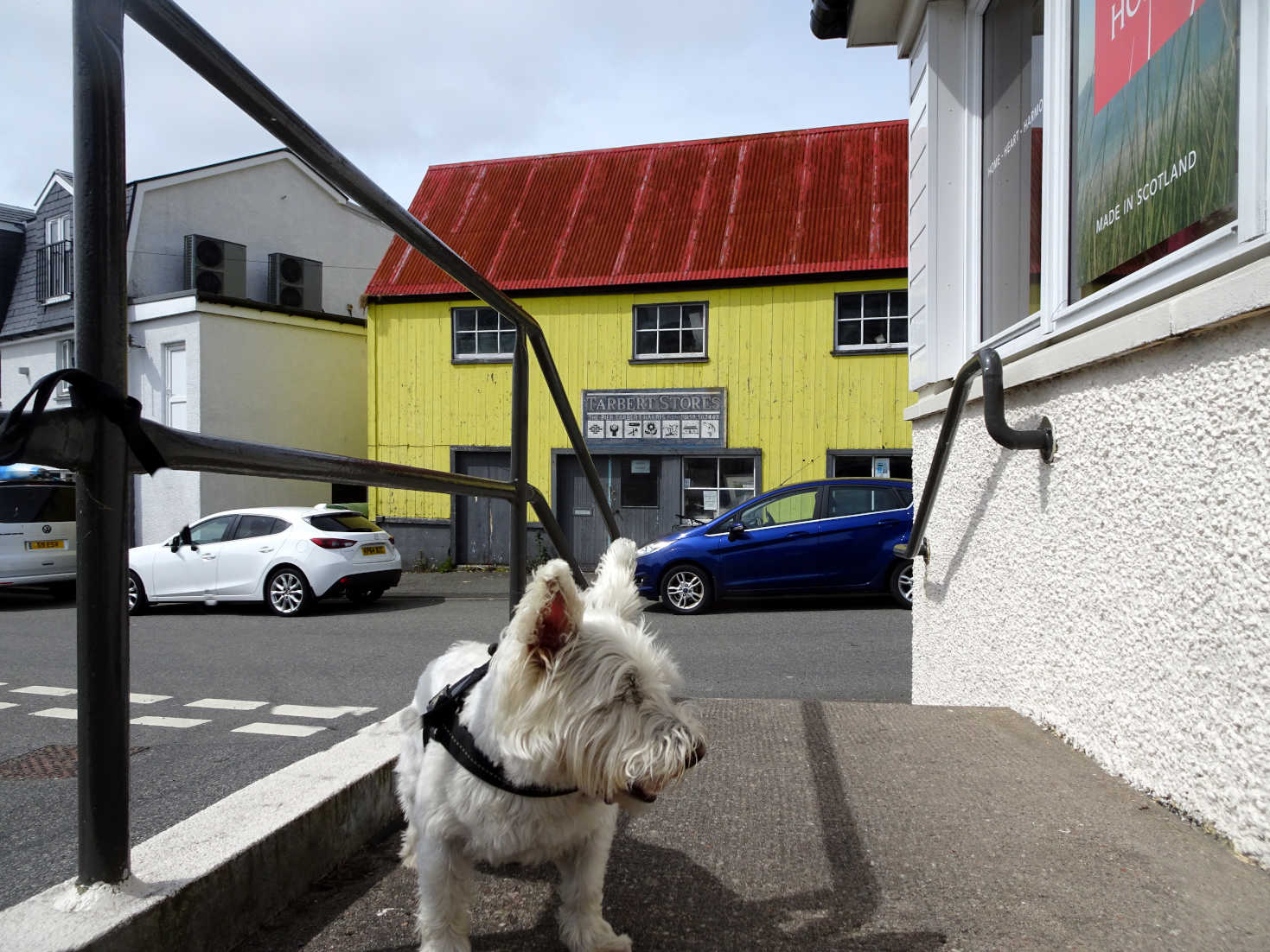 poppy the westie in Tarbert Isle of Harris