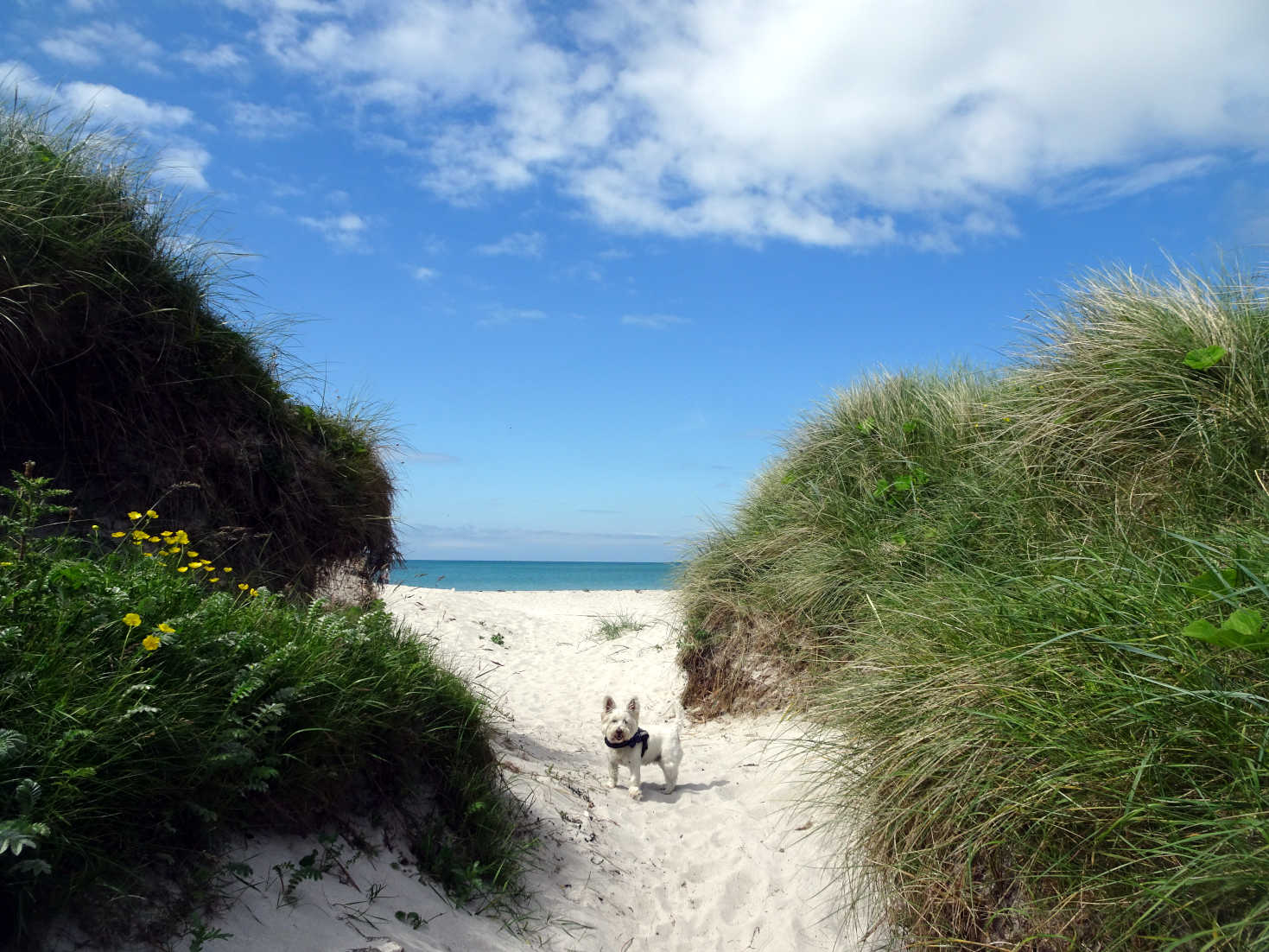 poppy the westie in dunes at Eriskay