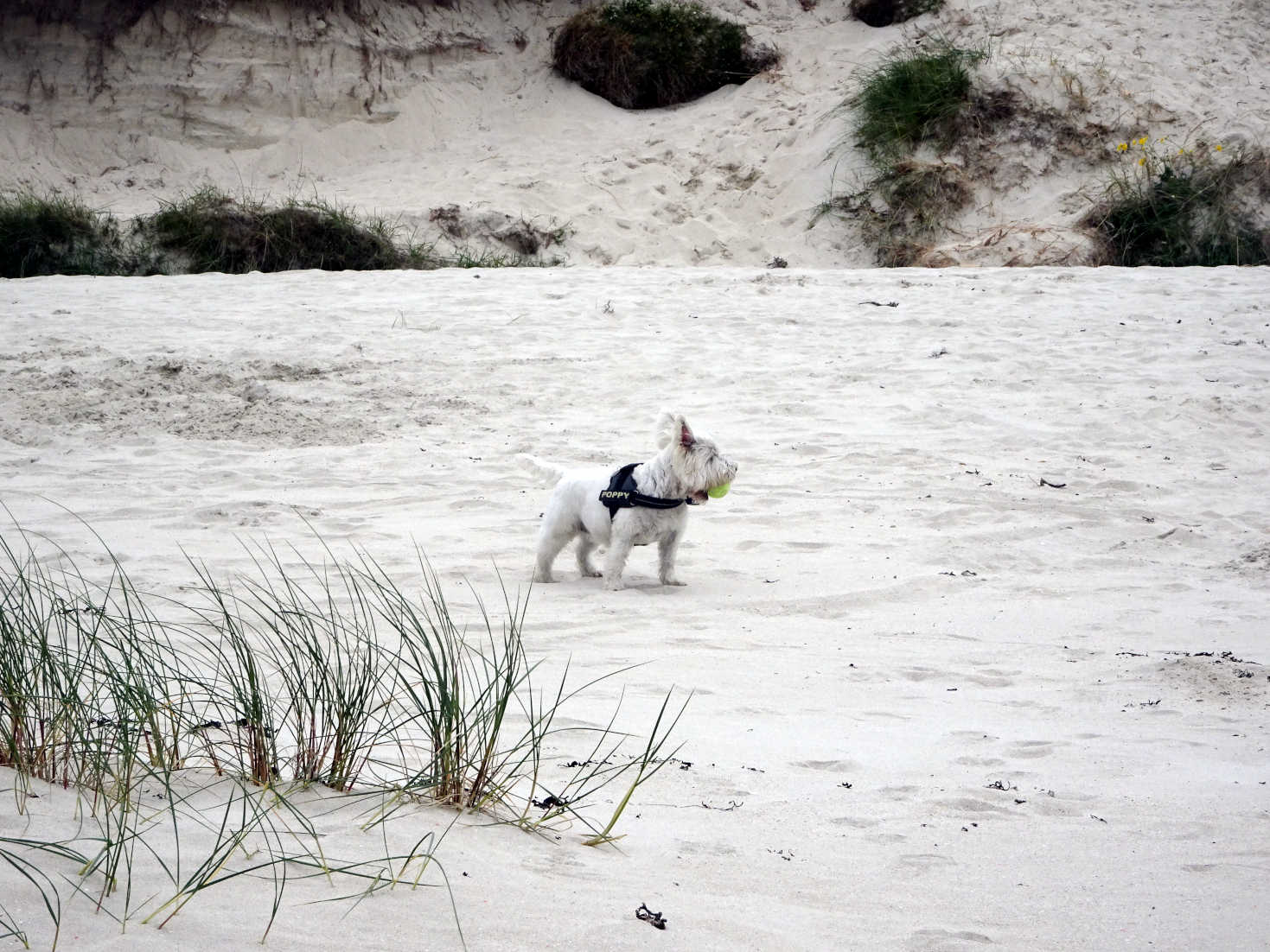 poppy the westie in the dunes of reef beach kneep