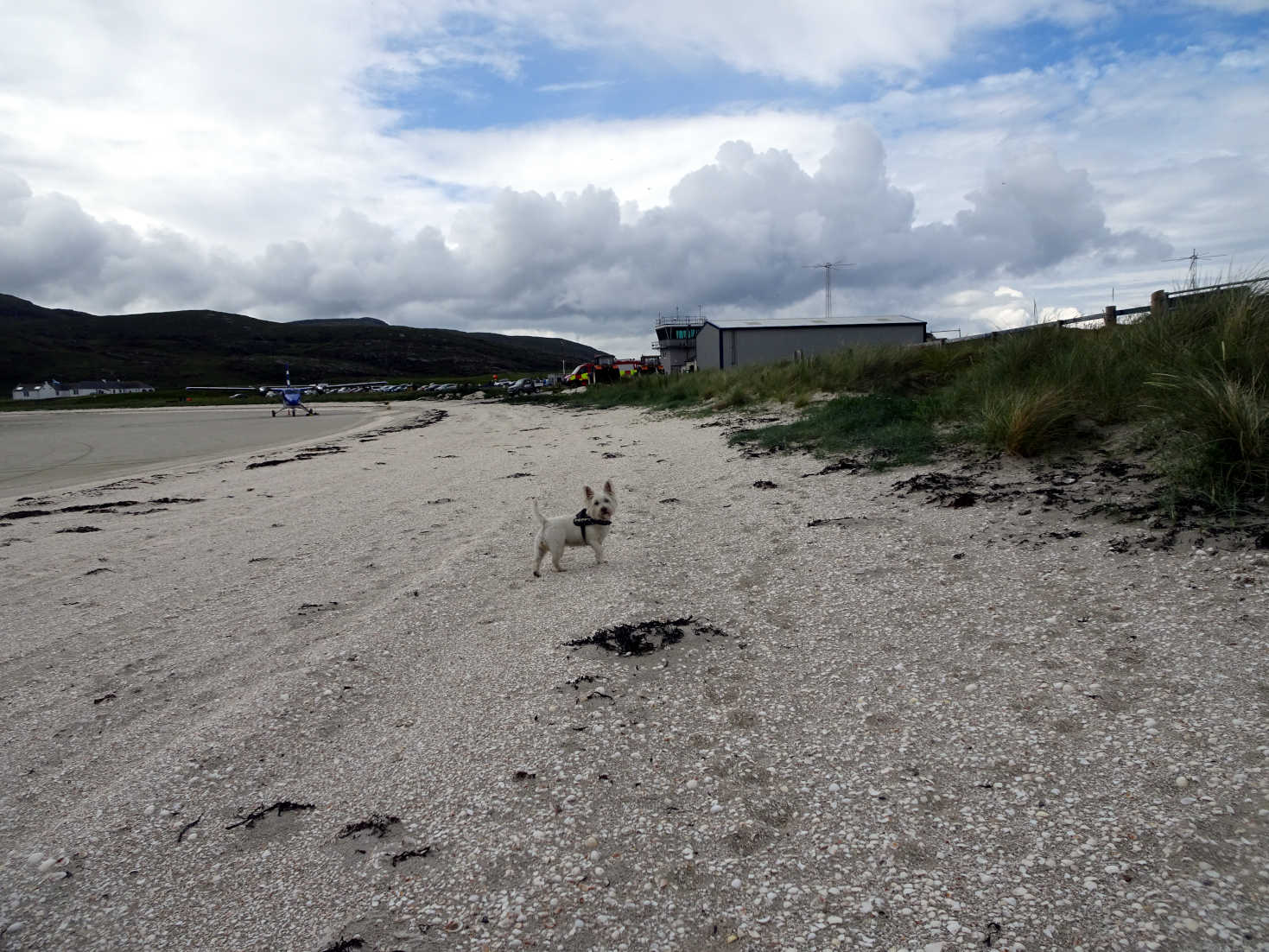 poppy the westie investigates the plne that landed in barra