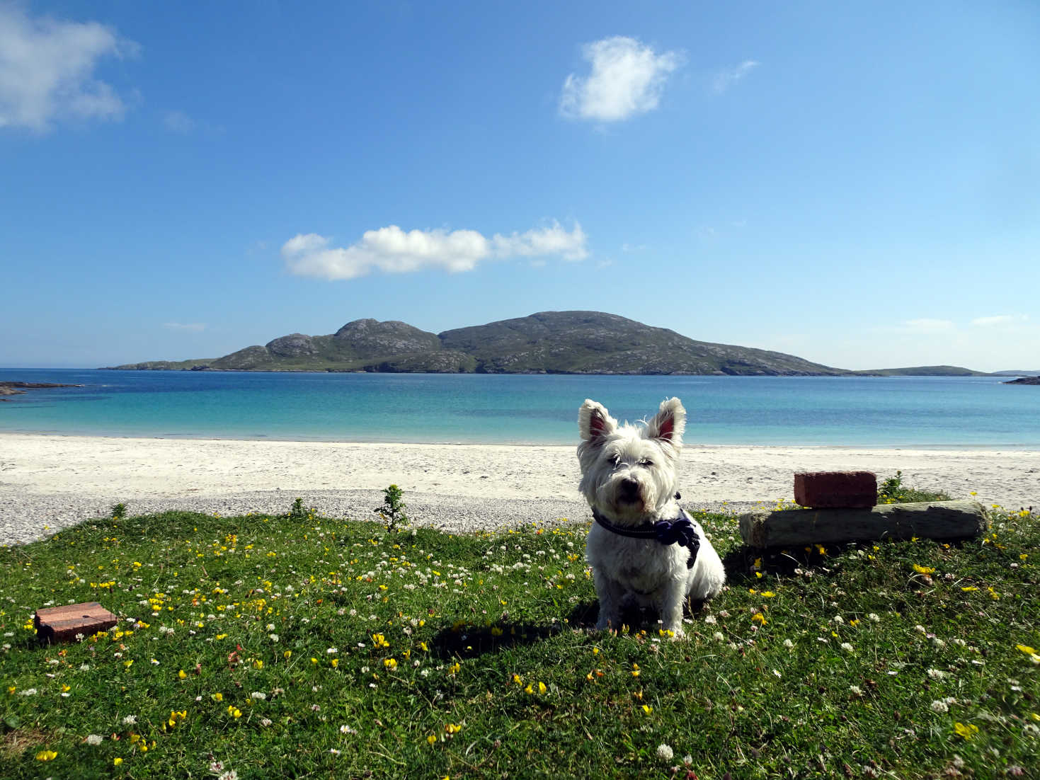 poppy the westie leaves Bagh A Deas Vatersay