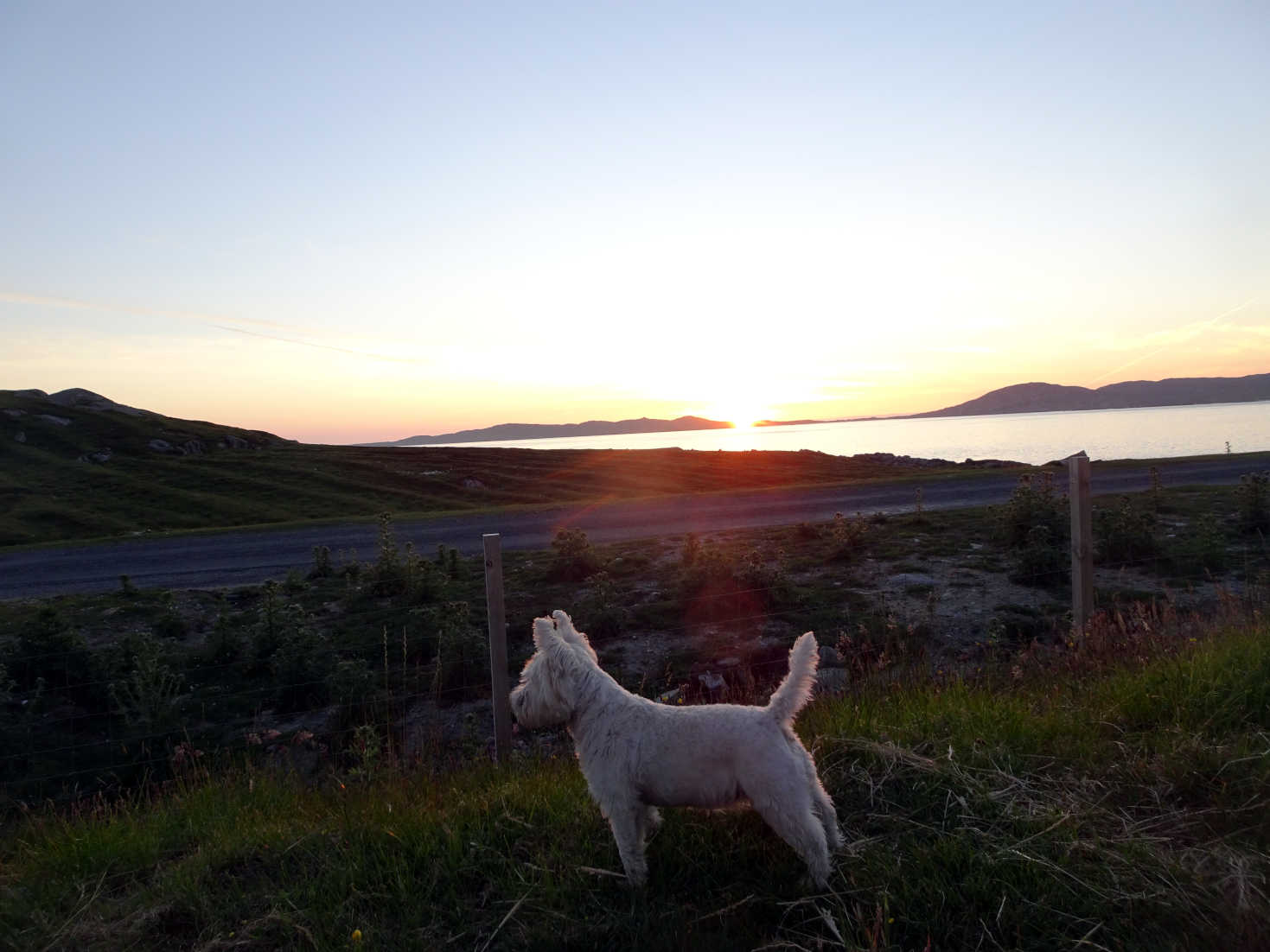 poppy the westie looks at sheep at sunset