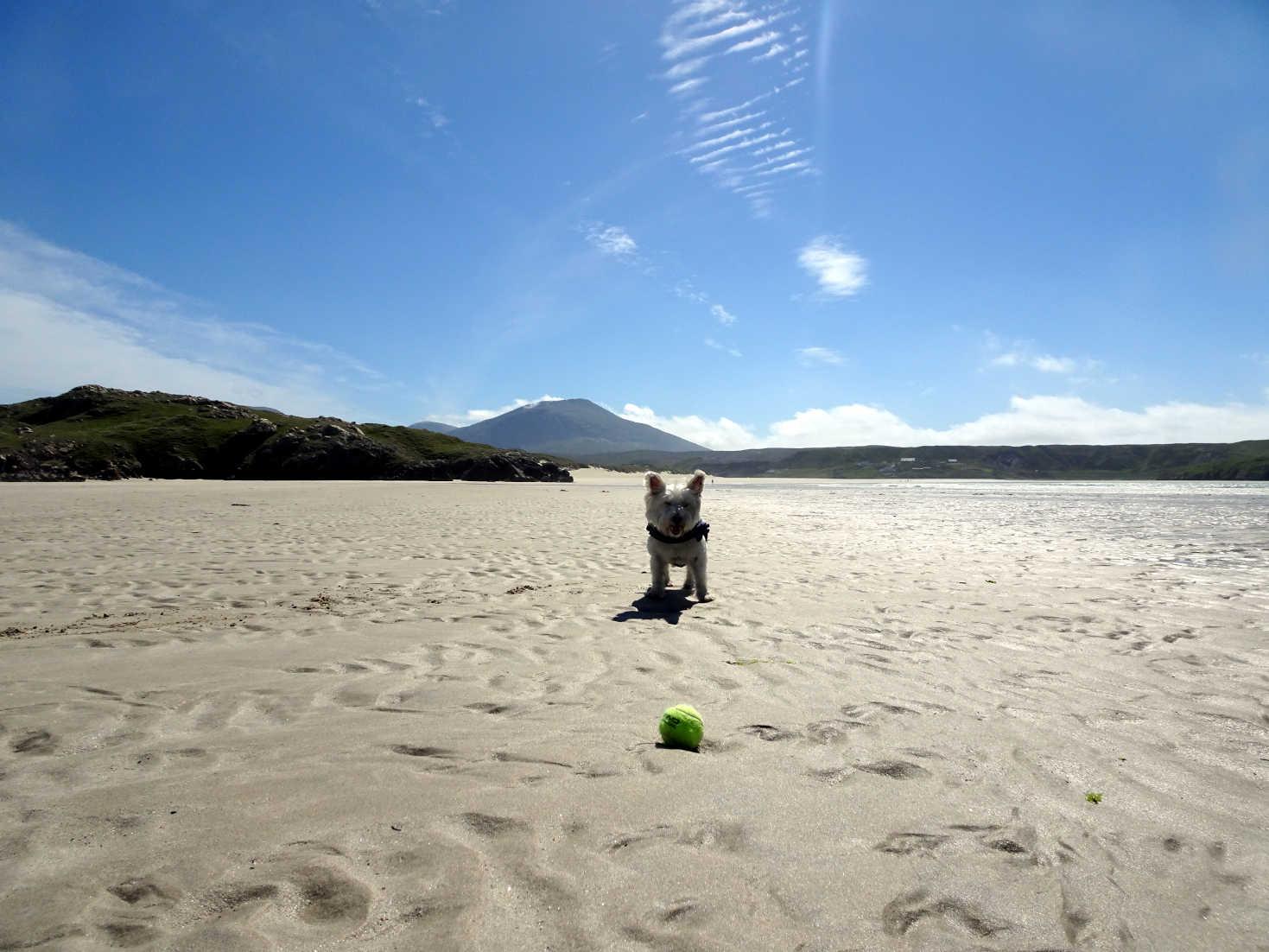 poppy the westie on Ardroil beach Uig Lewis