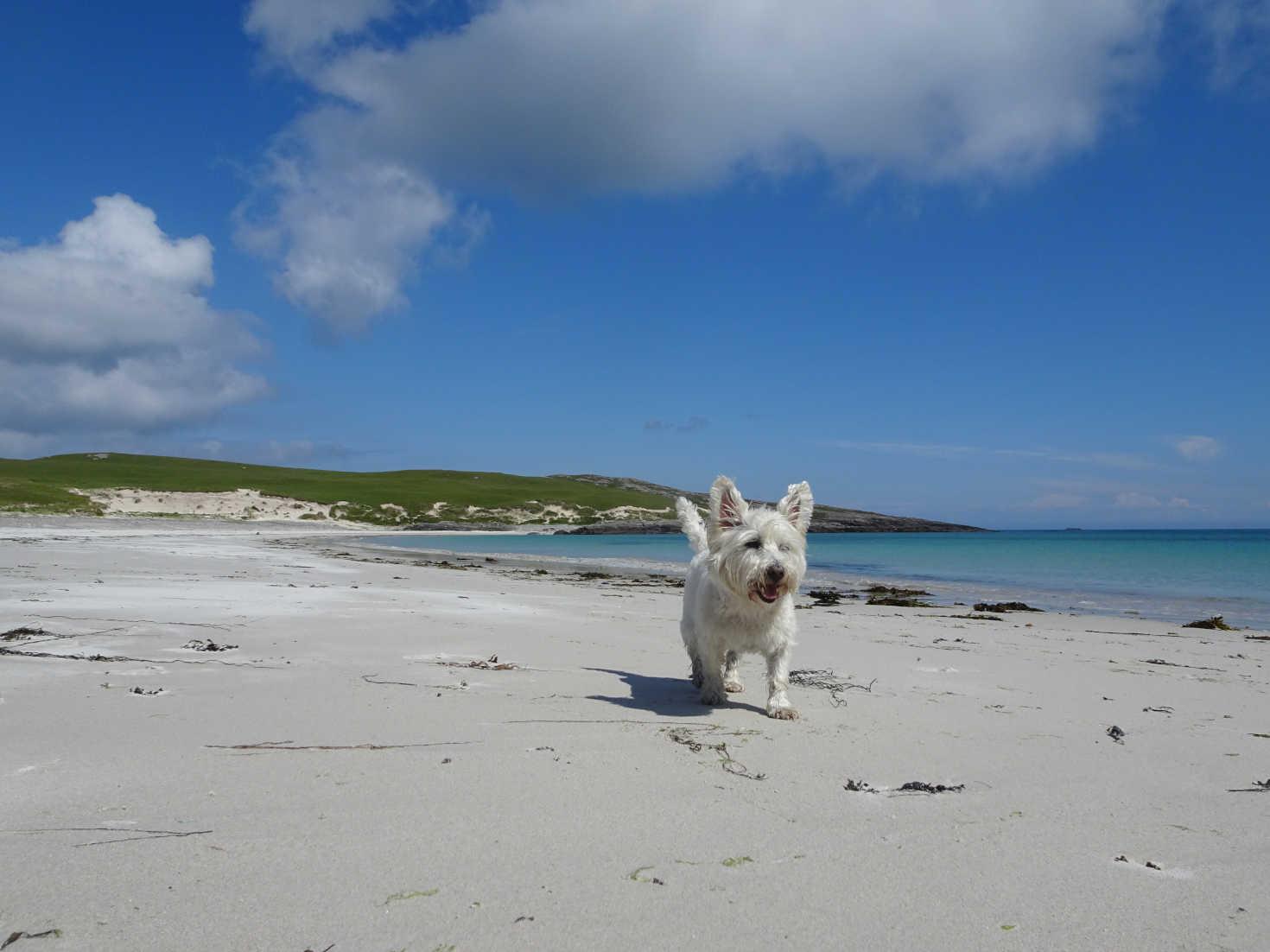 poppy the westie on Bagh A Deas beach Vatersay