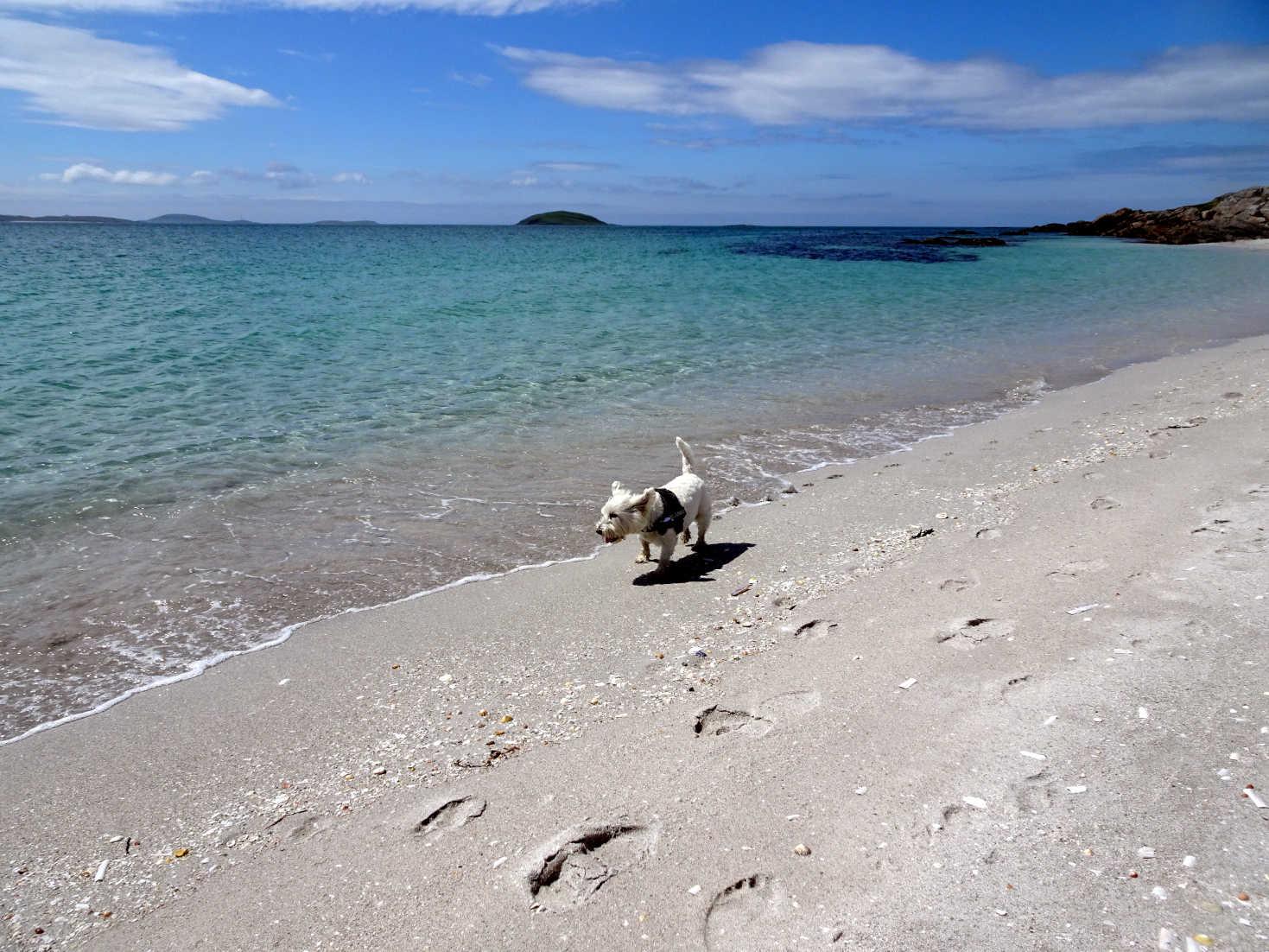 poppy the westie on ferry beach Eriskay
