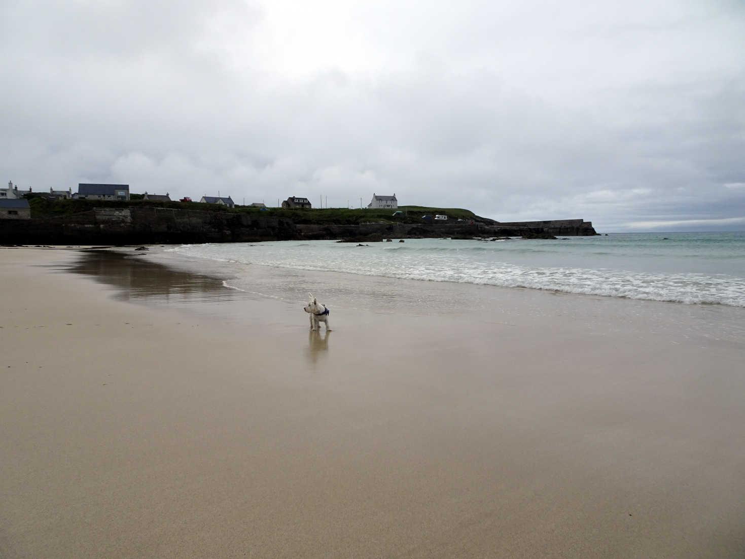 poppy the westie on ness beach lewis