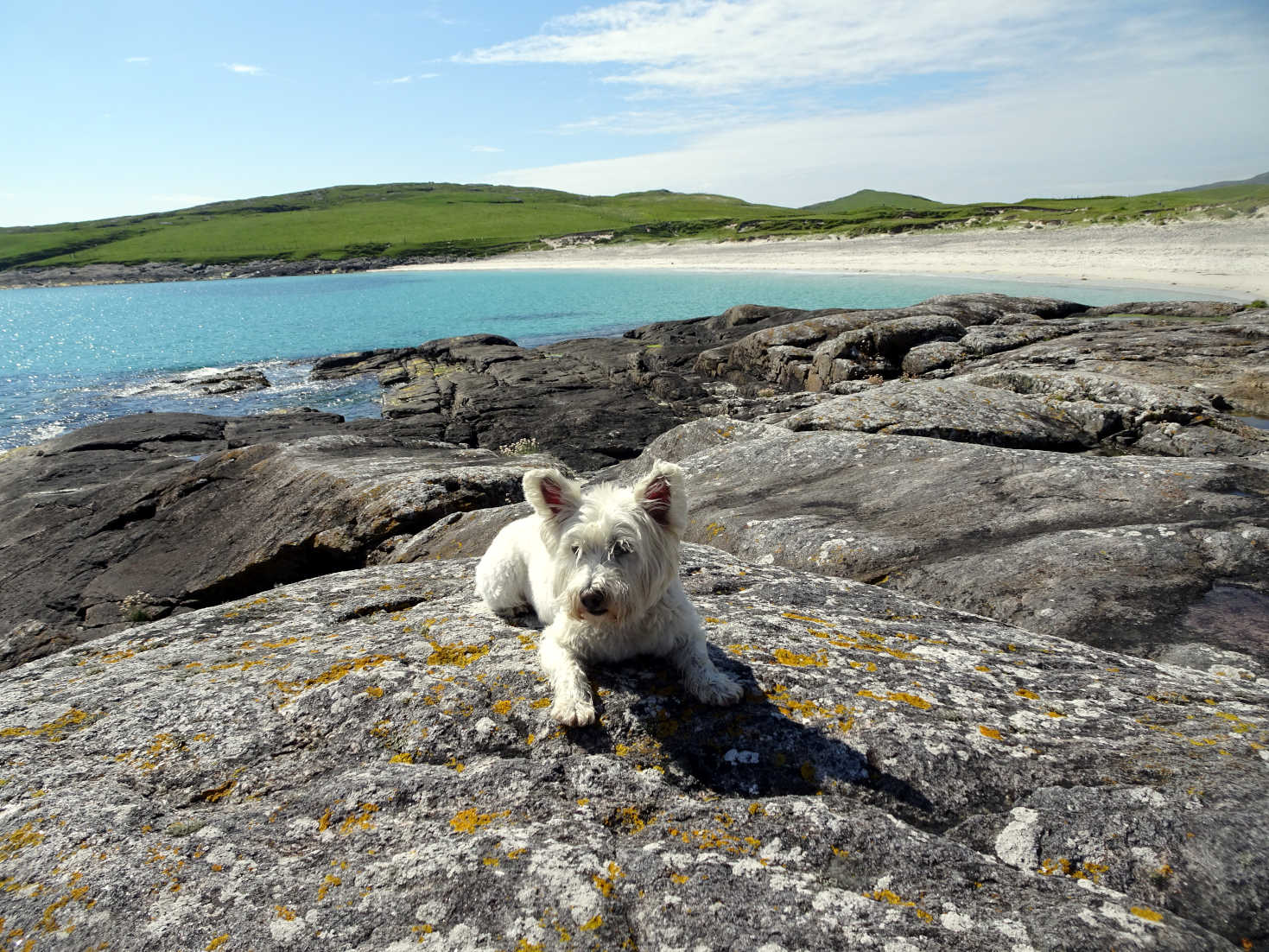 poppy the westie on rocks at Bagh A Deas Vatersay