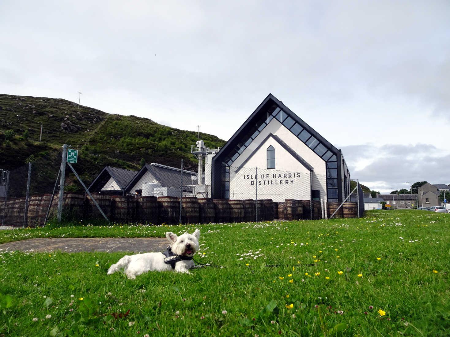 poppy the westie outside the Isle of Harris Distilery