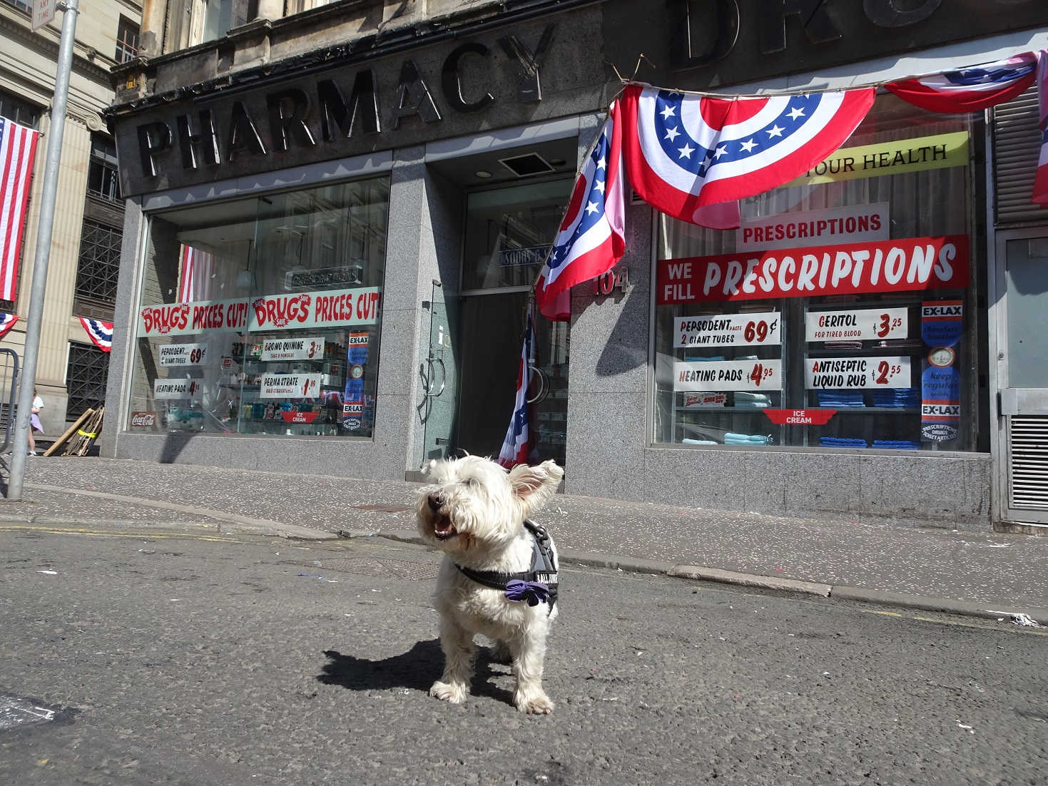 poppy the westie outside the drug store