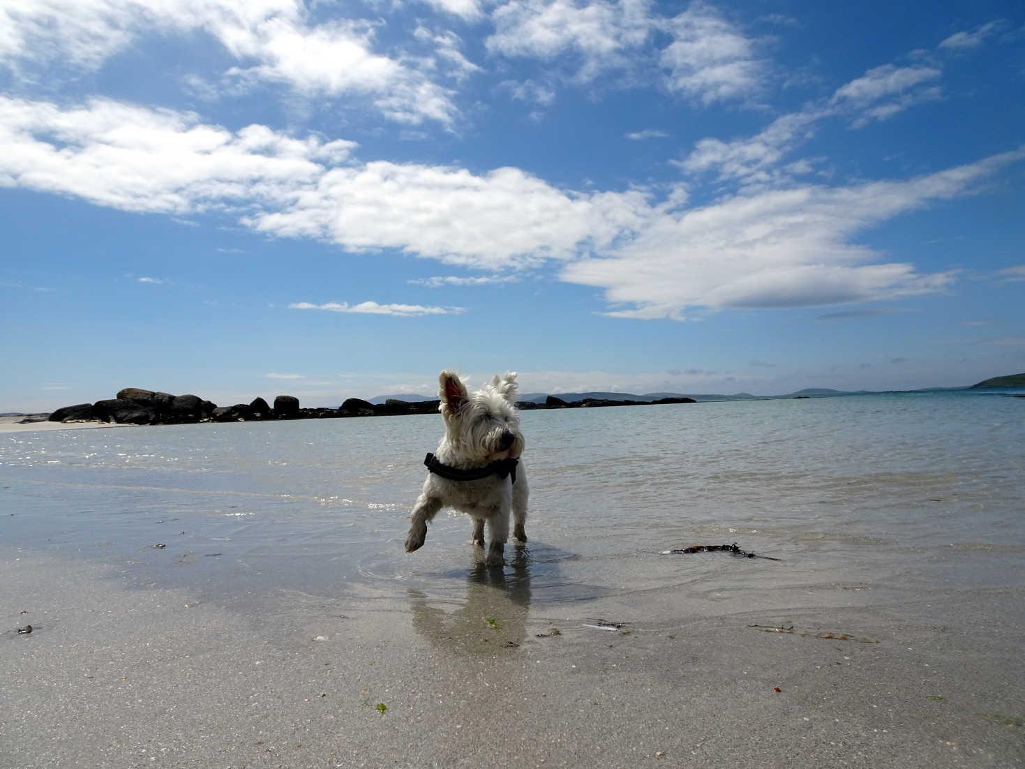 poppy the westie paddling at Eriskay Beach