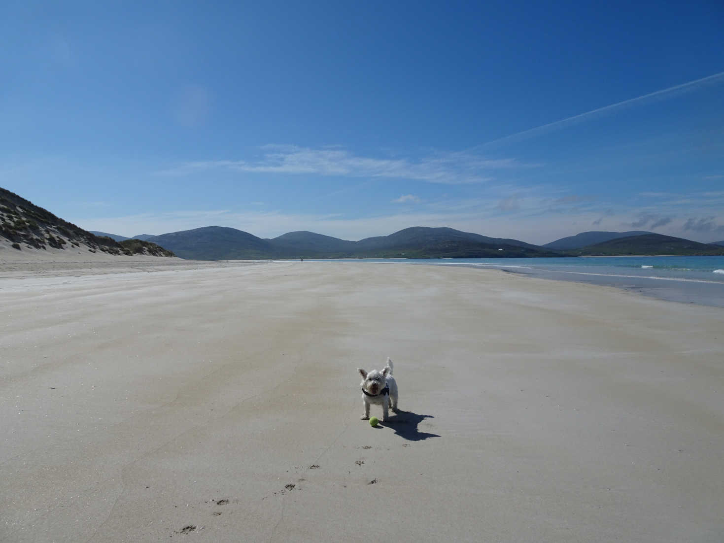 poppy the westie playing ball at Luskentyre Beach
