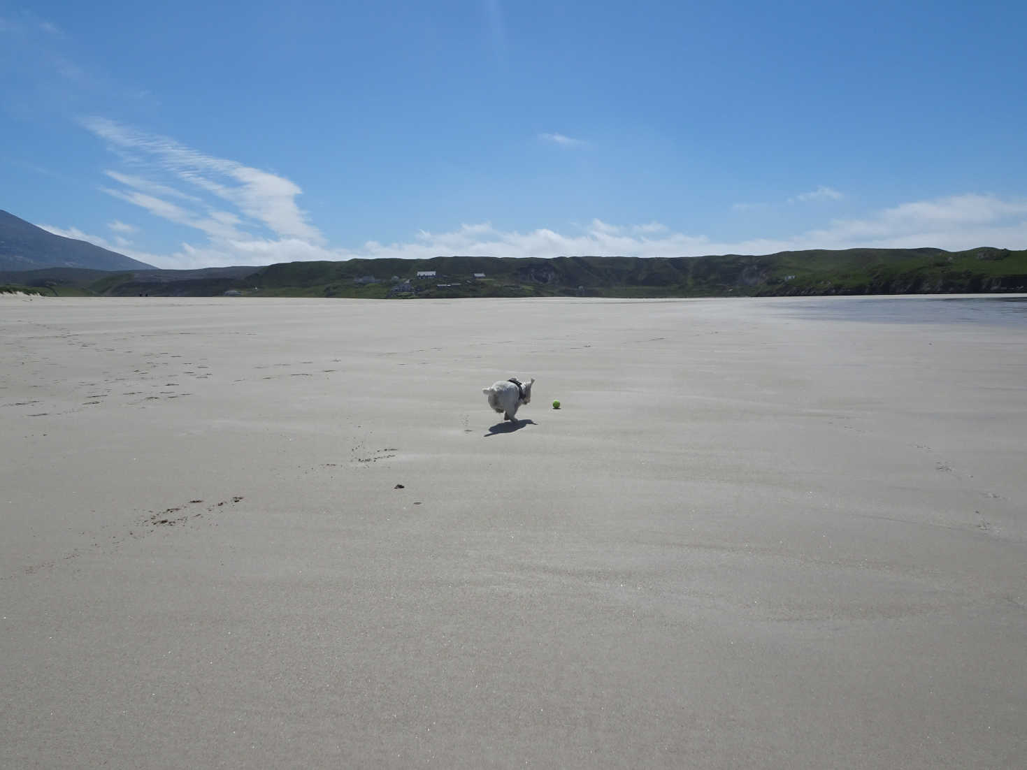 poppy the westie playing ball on Ardroil Beach