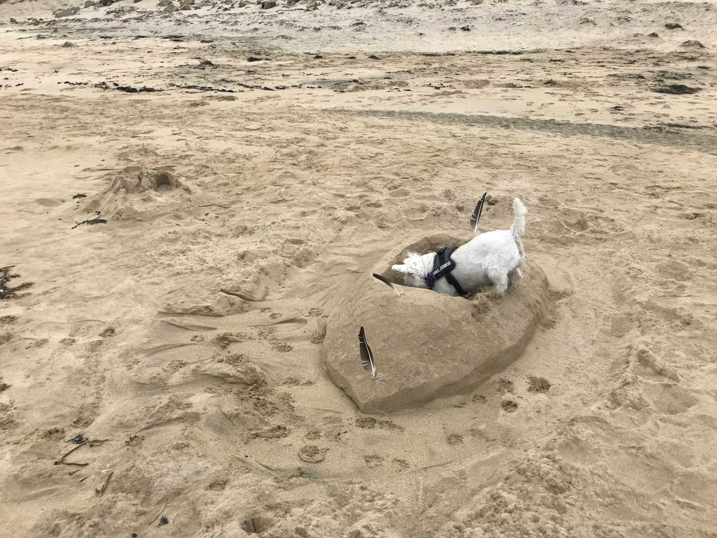 poppy the westie playing on Traigh Mhor