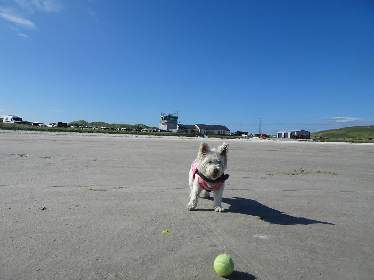 poppy the westie plays ball on barra airports runway