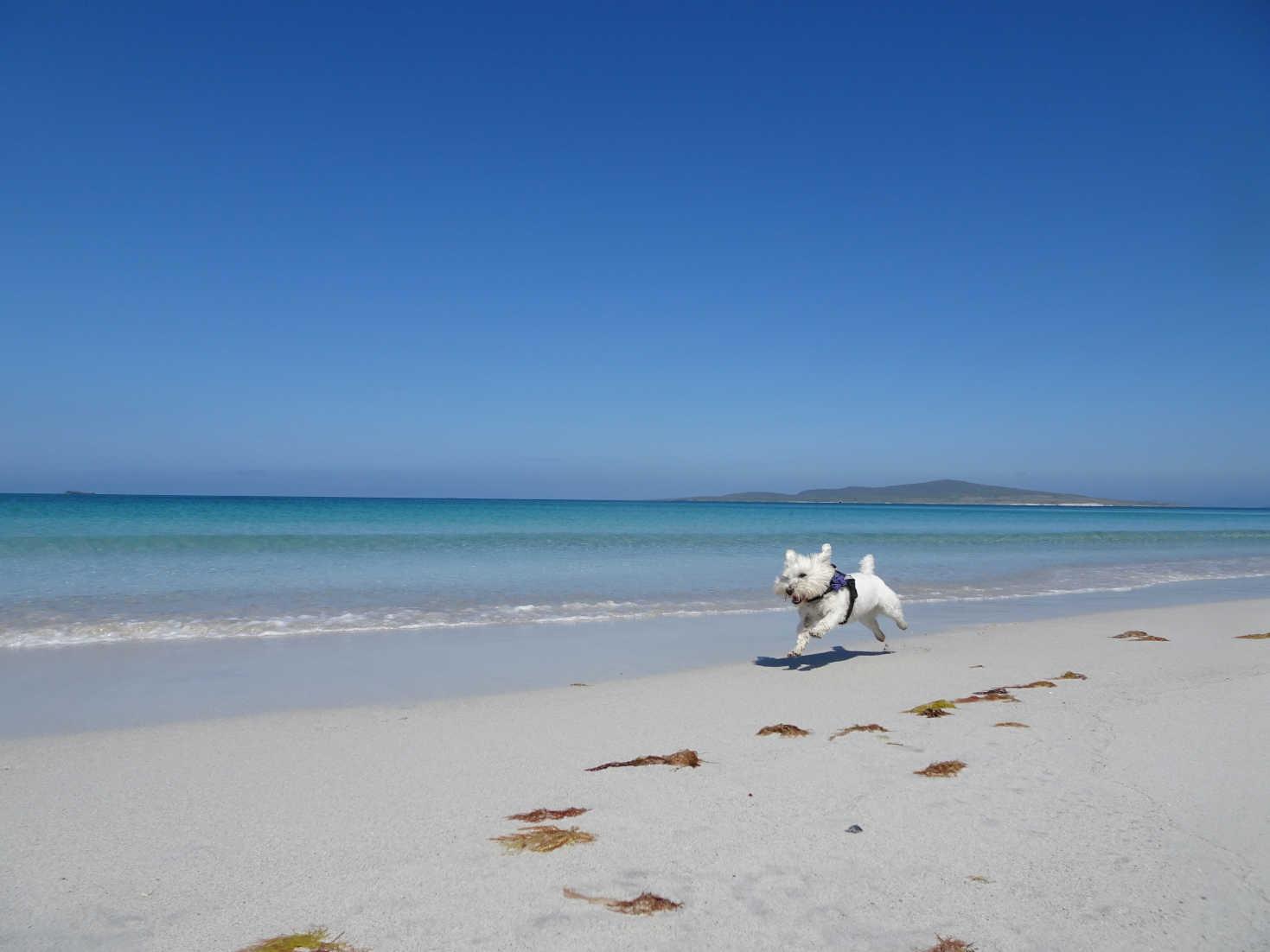 poppy the westie running on Berneray Beach
