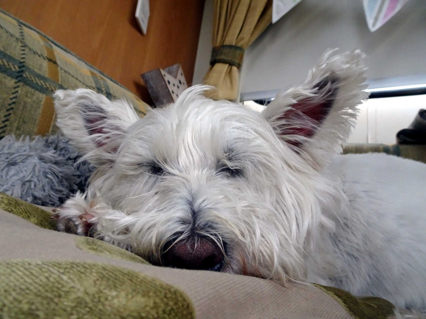 poppy the westie snoozing in betsy at kneep