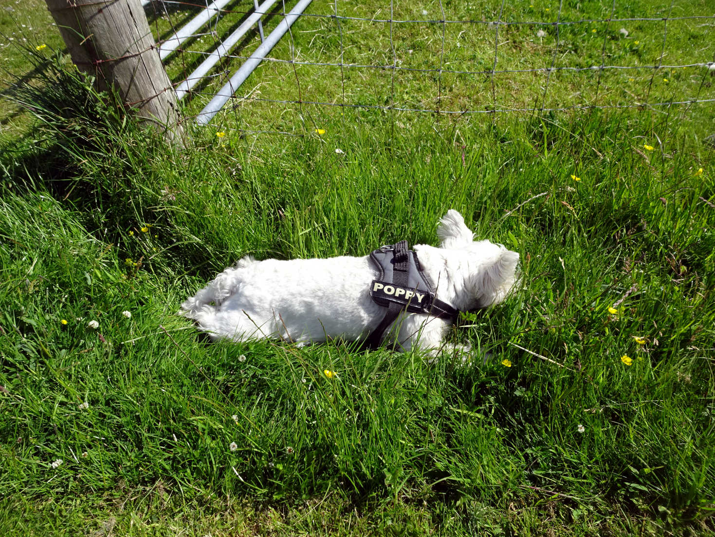 poppy the westie snoozing in north uist