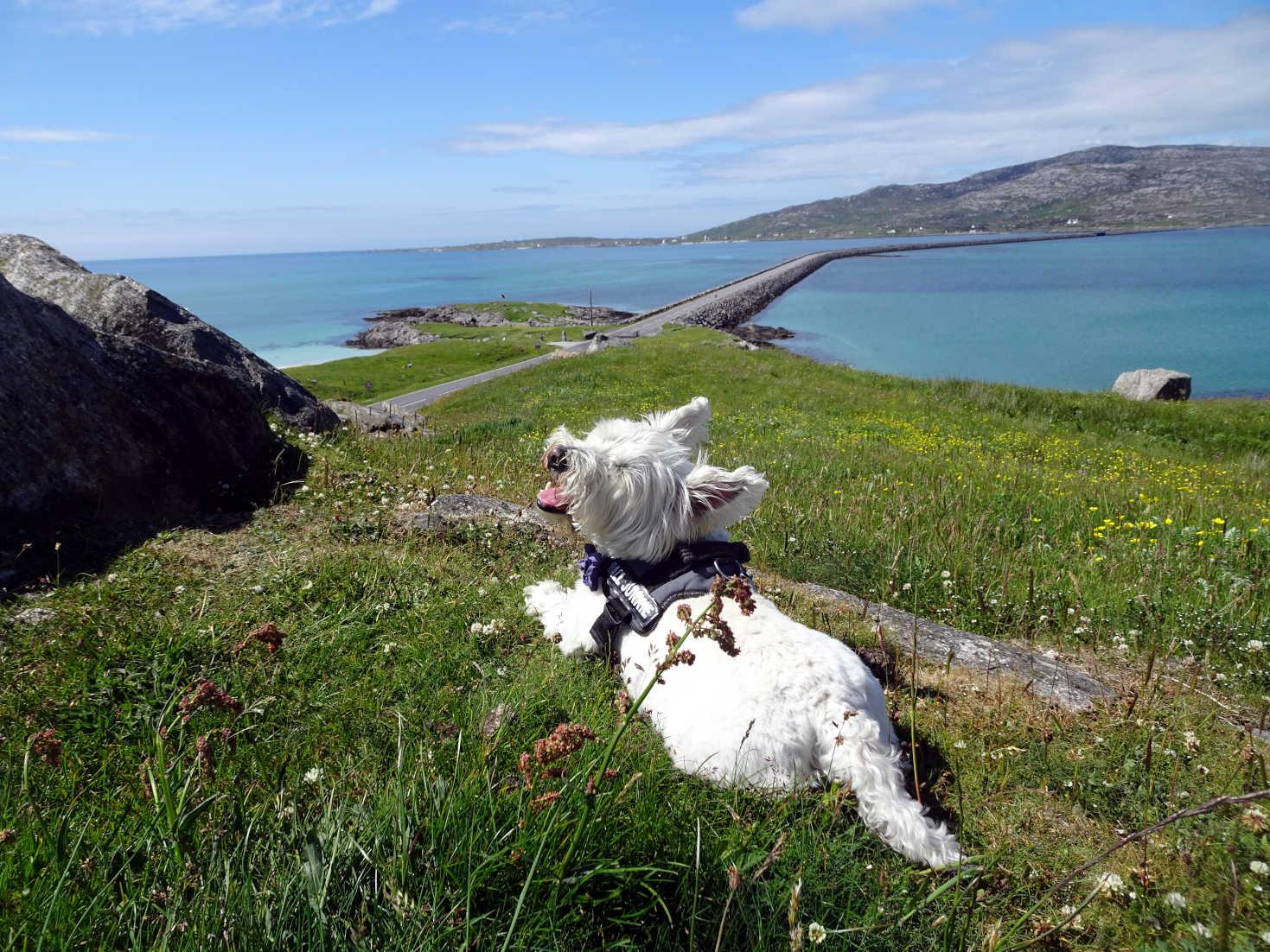 poppy the westie surveys the Eriskay causeway