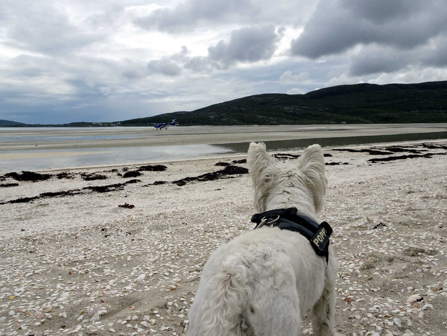 poppy the westie tracking the airplane barra