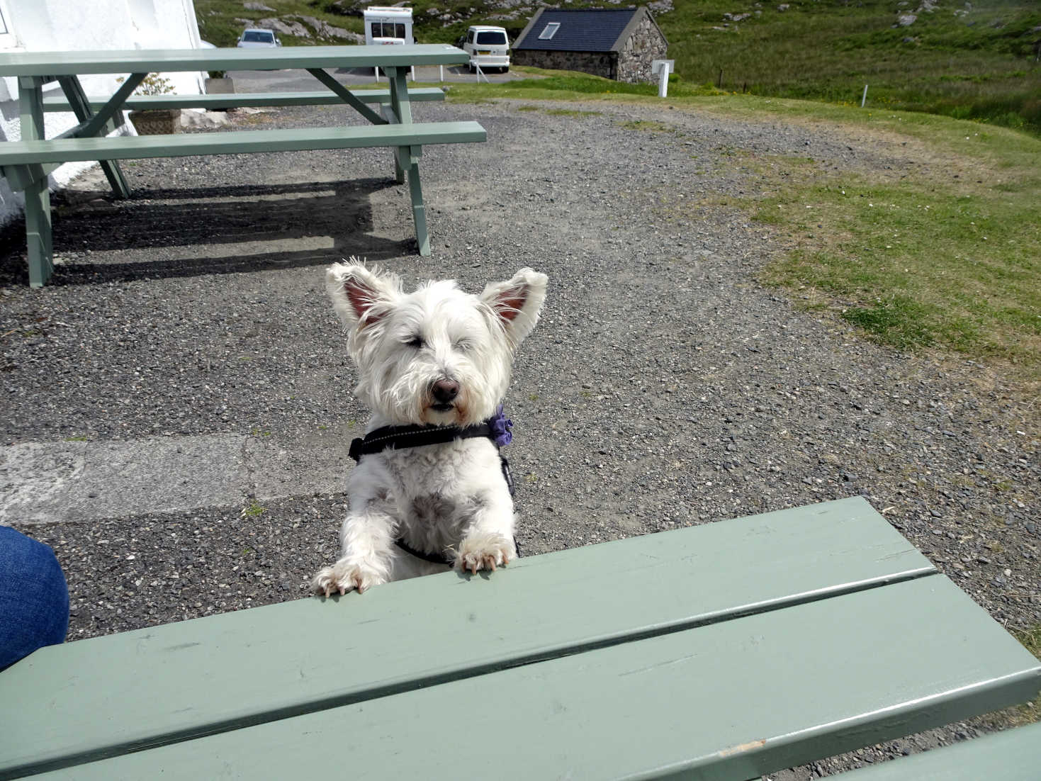 poppy the westie waiting for cake at the Skoon Gallery Harris