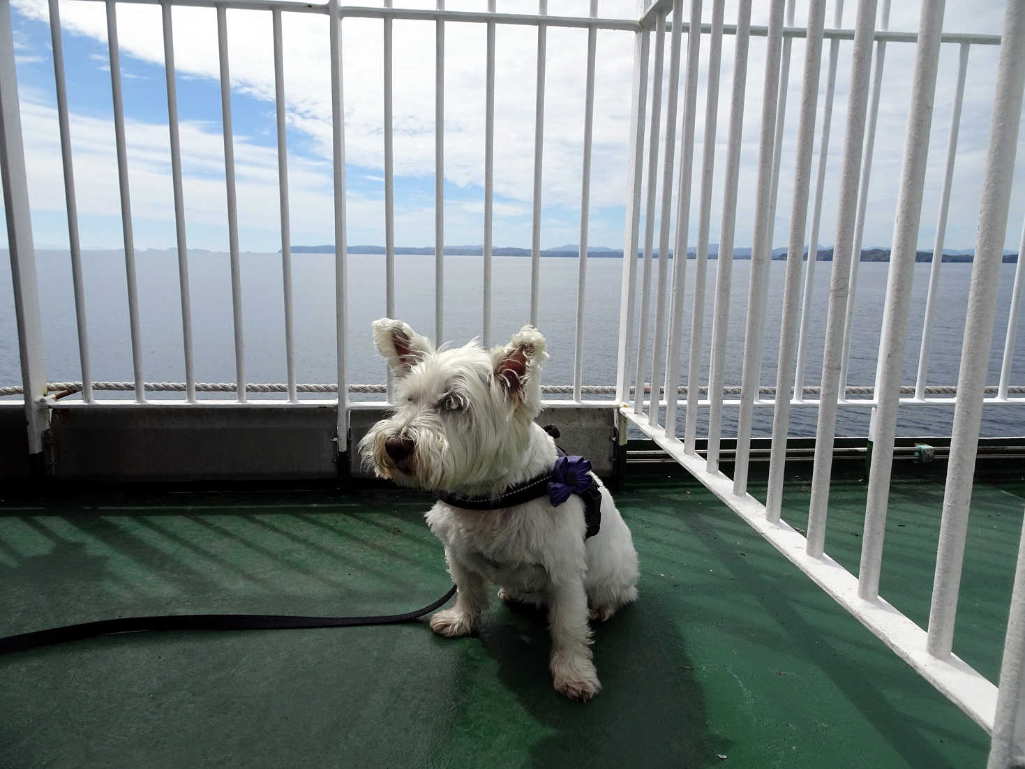 poppy the westie with the isle of lewis in distance