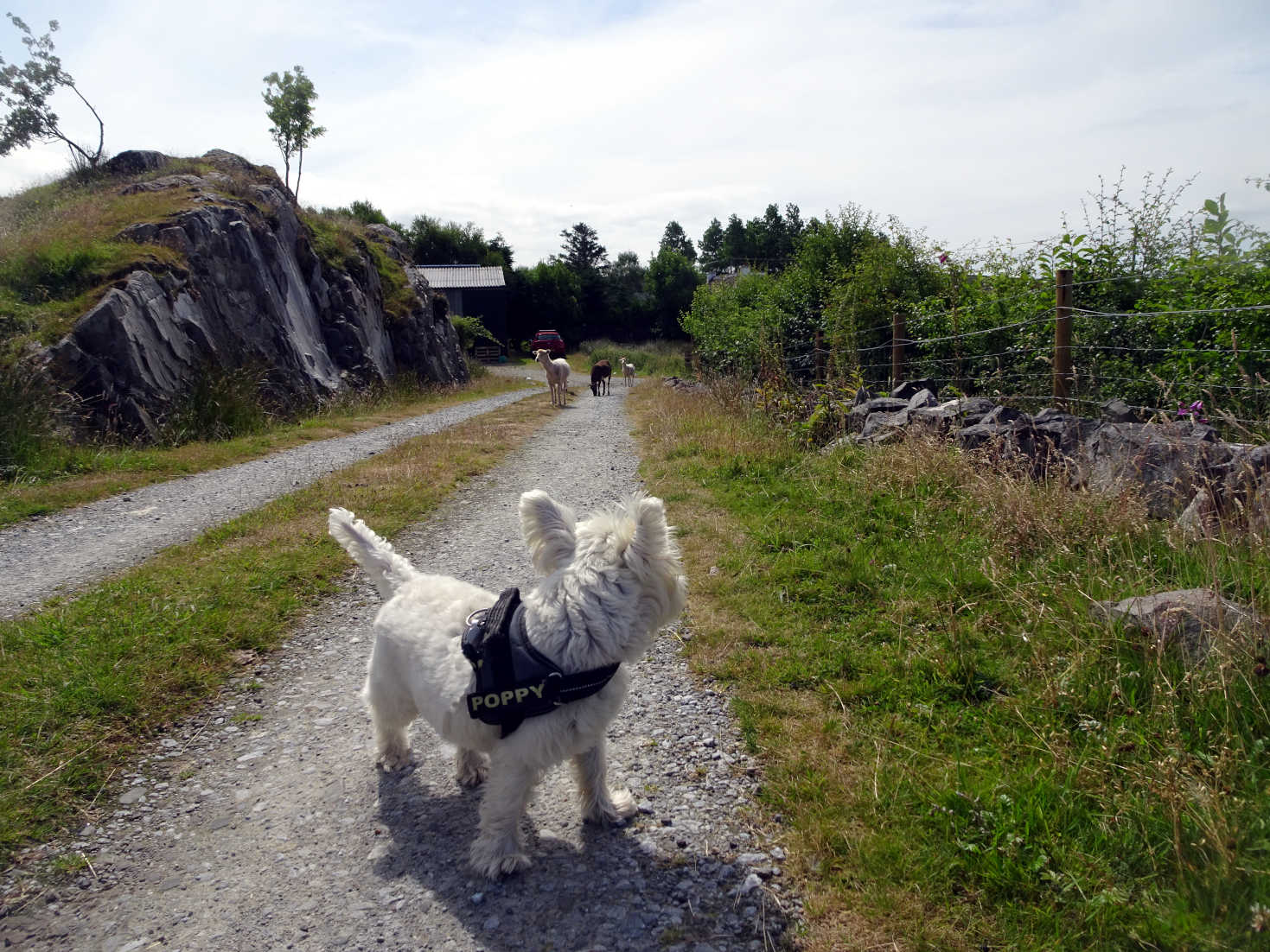 Poppy the westie keeps an eye on the sheep gang