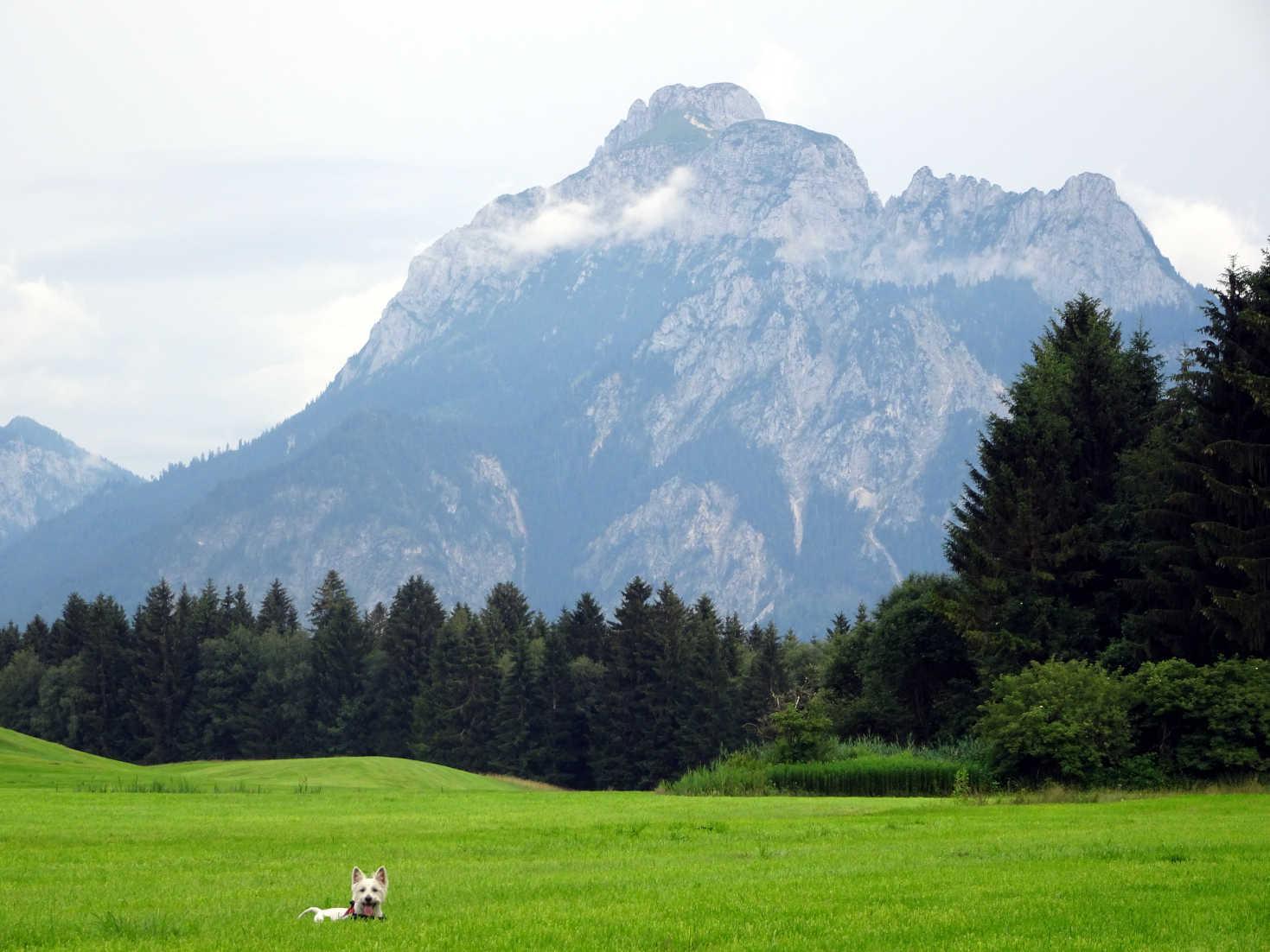 poppy in grass in german alps