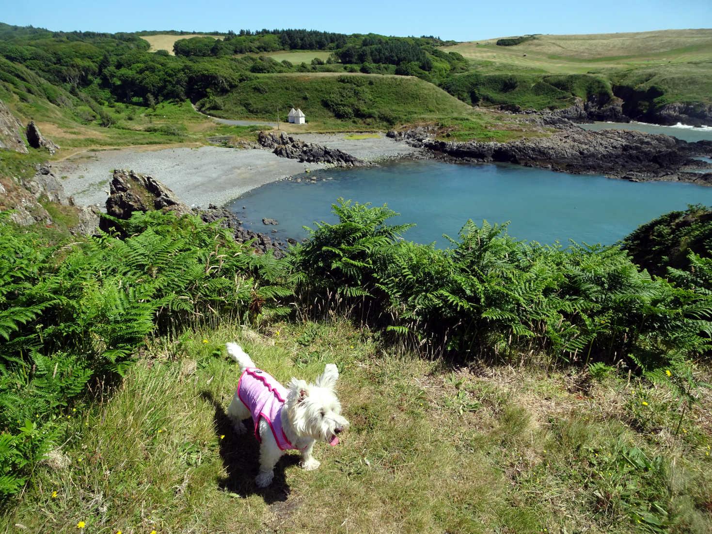 poppy the westie above picnic bay