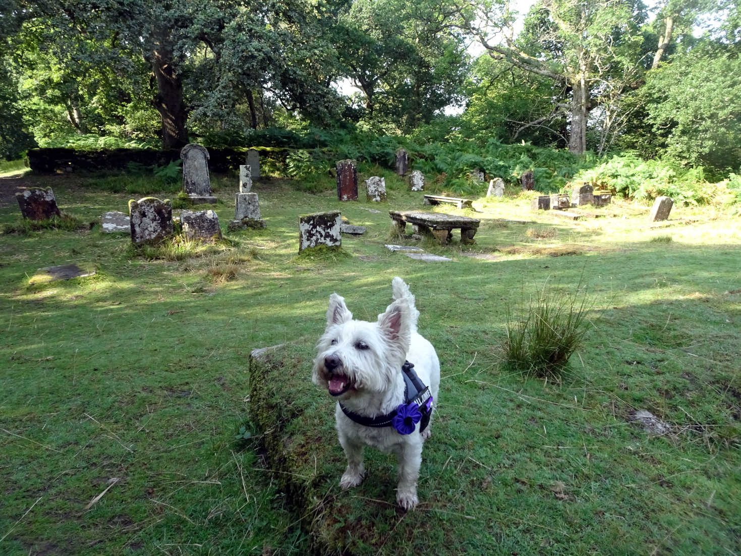 poppy the westie after game of chase with gordon at Inchcailloch